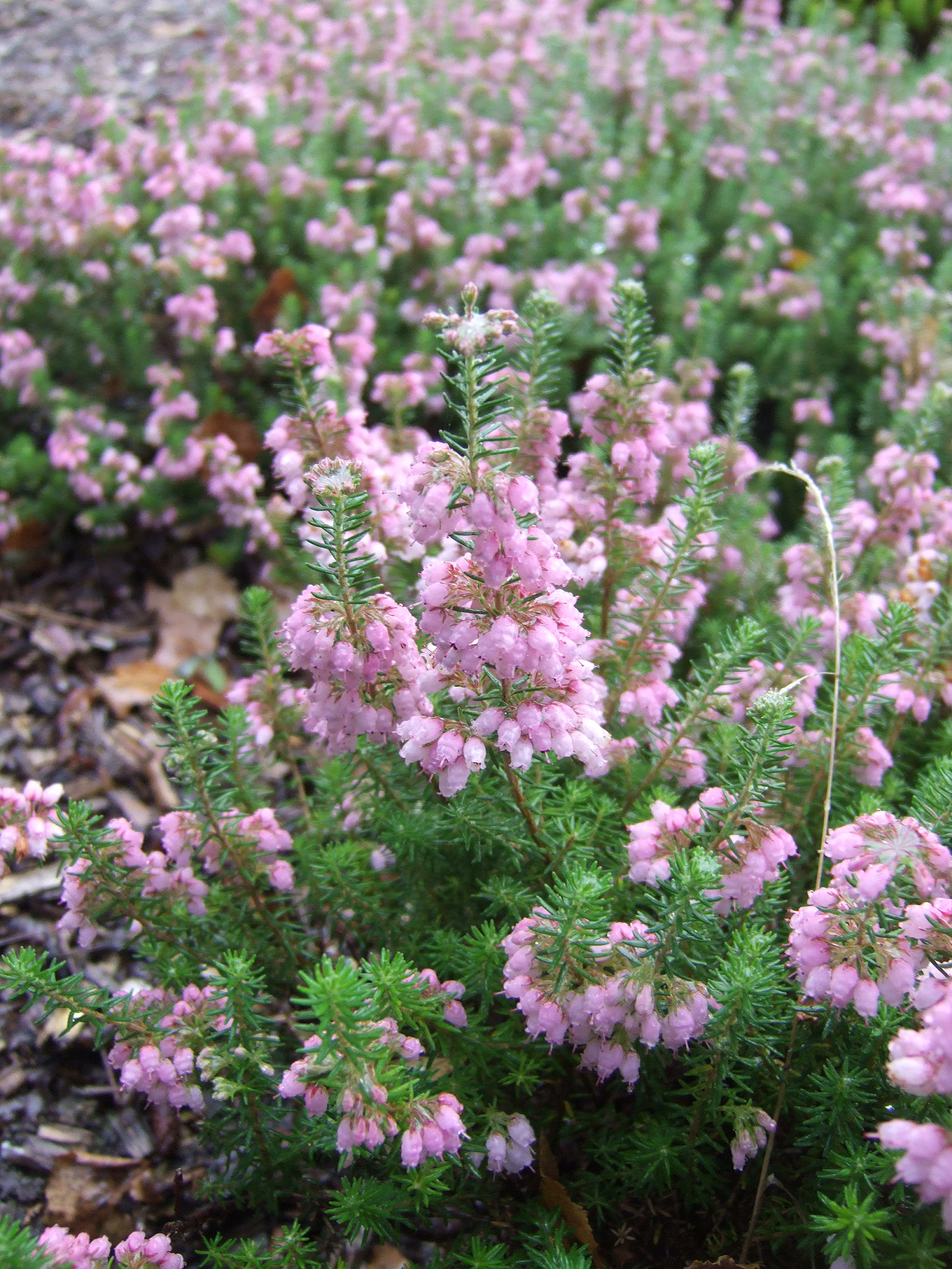 The Heather Society Erica Hardy