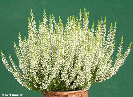 'White Angie' {Gardengirls®}
