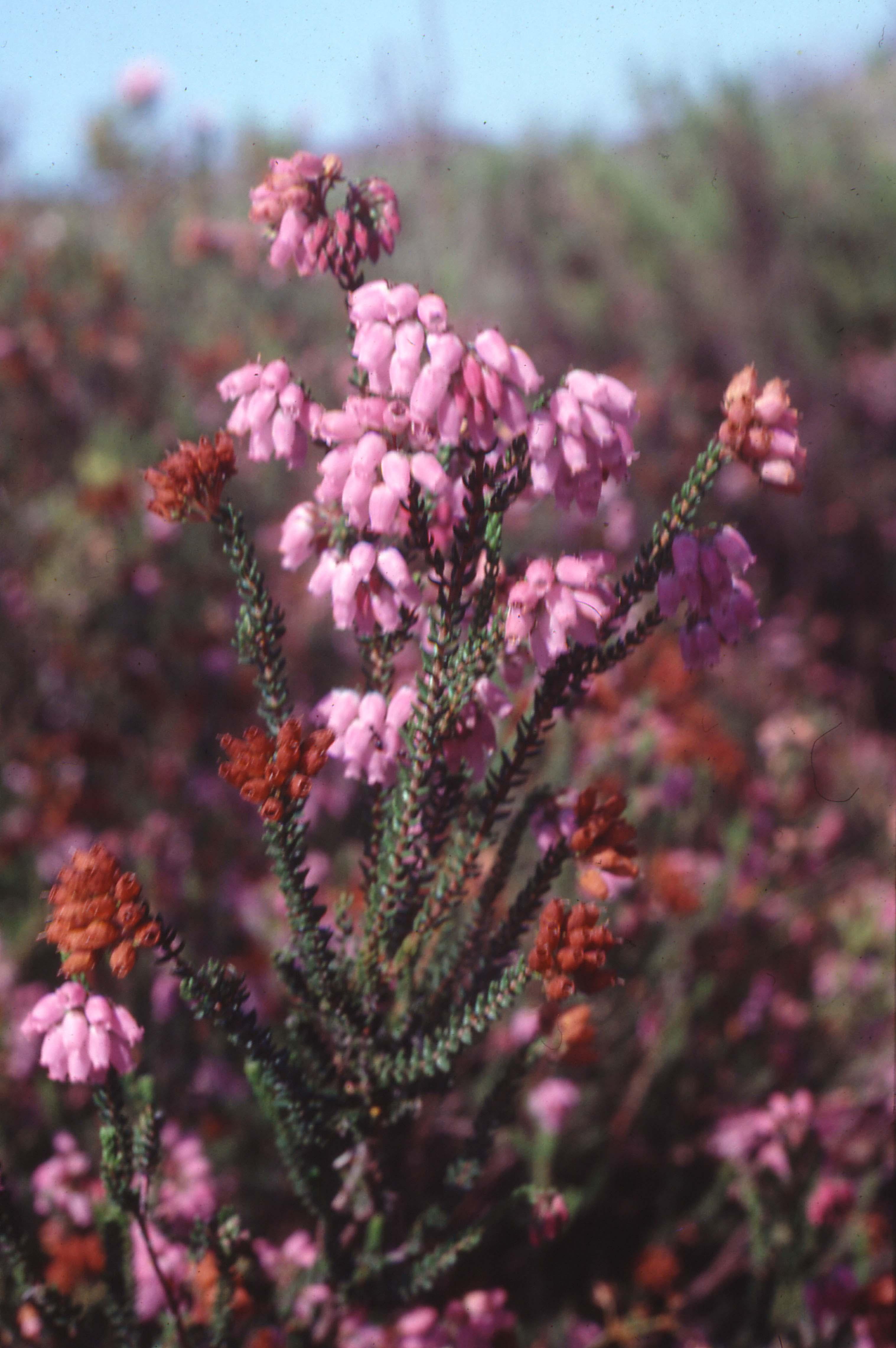 'Erica andevalensis f. andevalensis'
