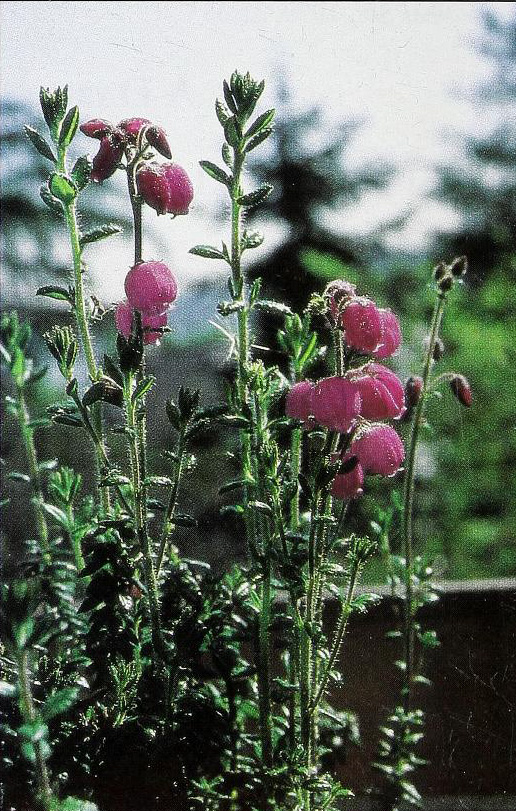 'Seattle Lilac'
