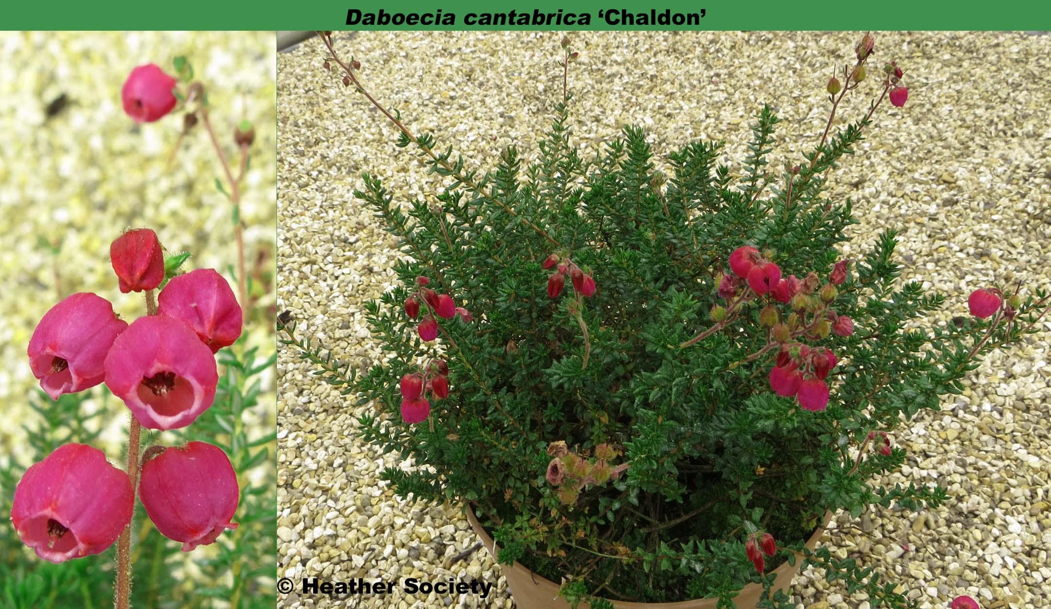 'Chaldon'
