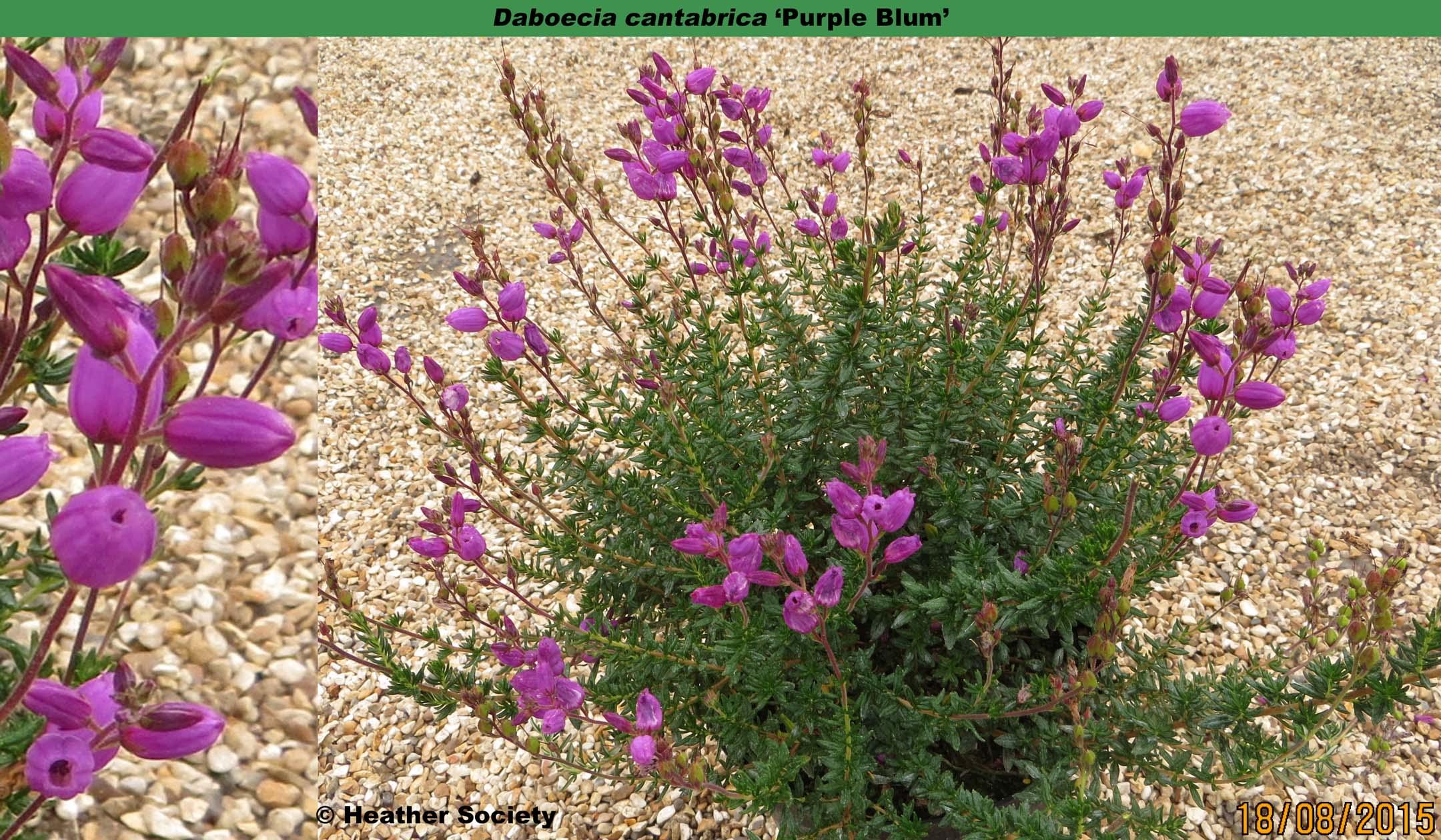 'Purple Blum'