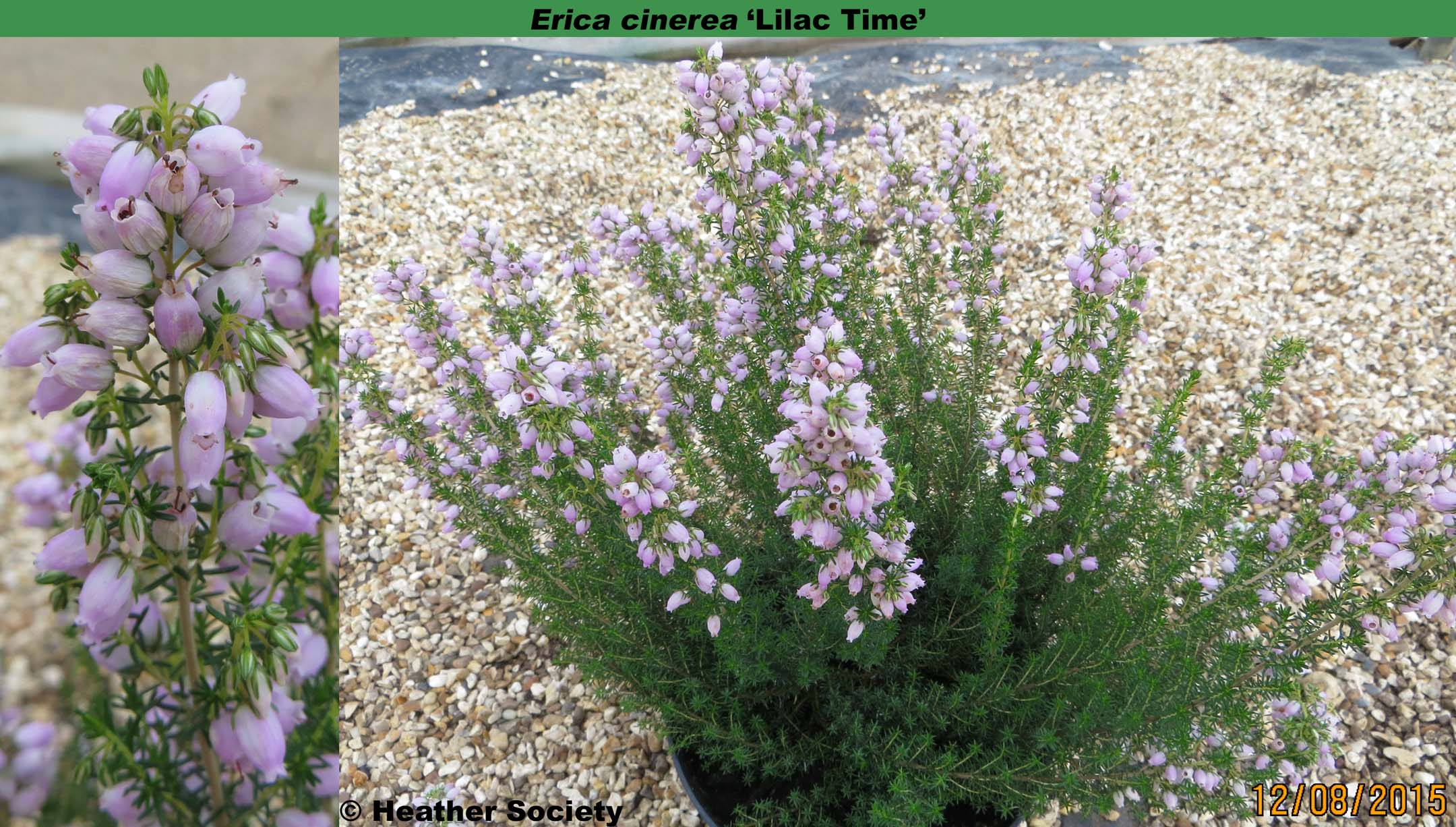 'Lilac Time'