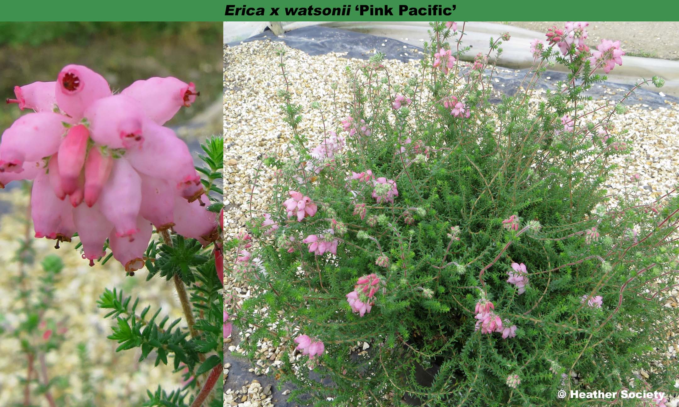 'Pink Pacific'