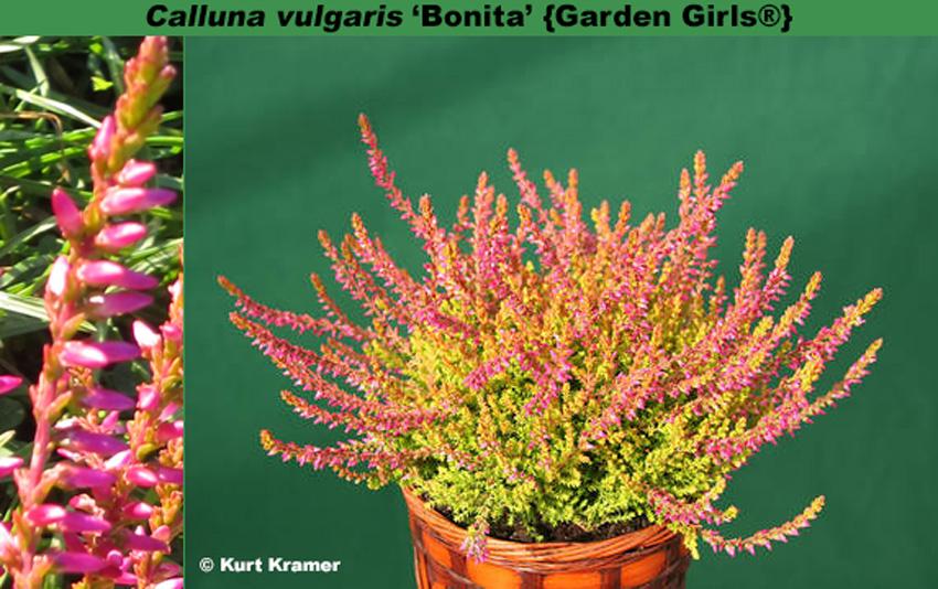 'Bonita' {Gardengirls®}