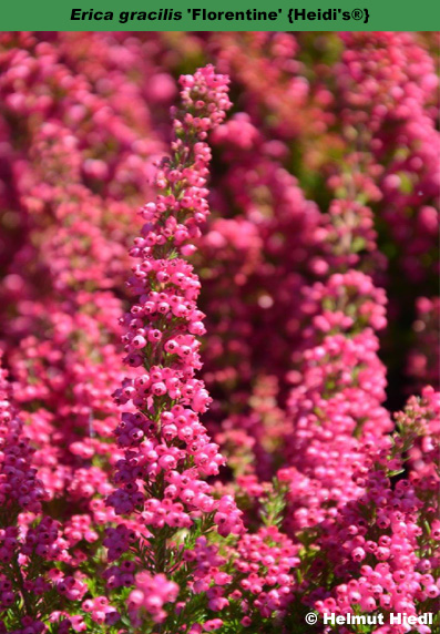 The heather society florentine erica gracilis for Erica gracilis