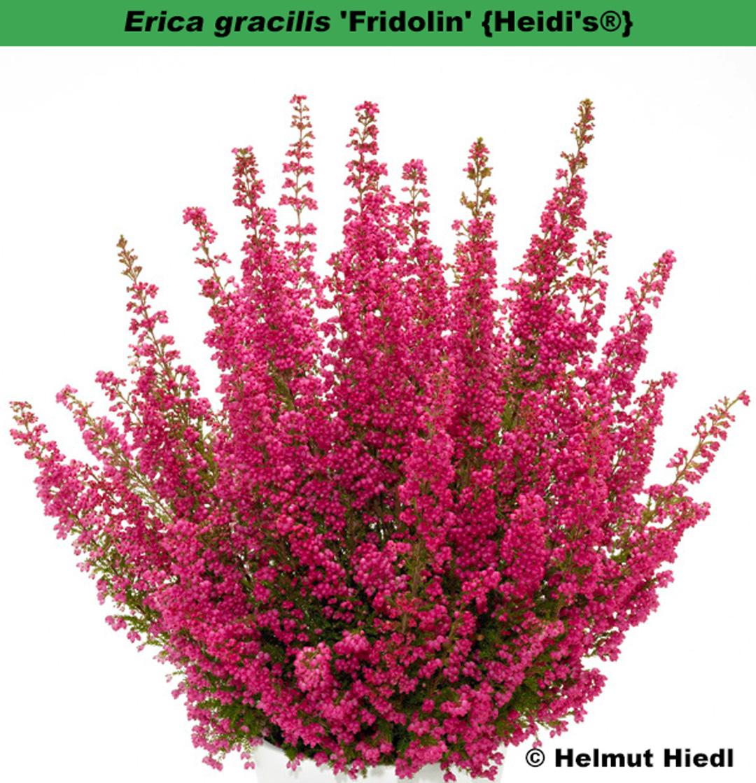 'Fridolin' (=Erica gracilis) {Heidi's®}