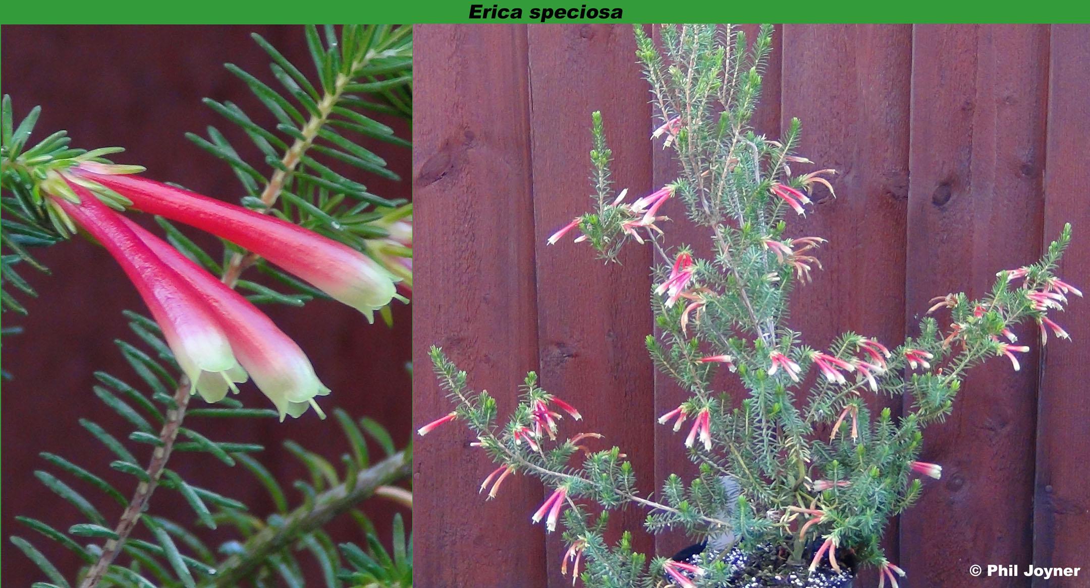 Erica speciosa