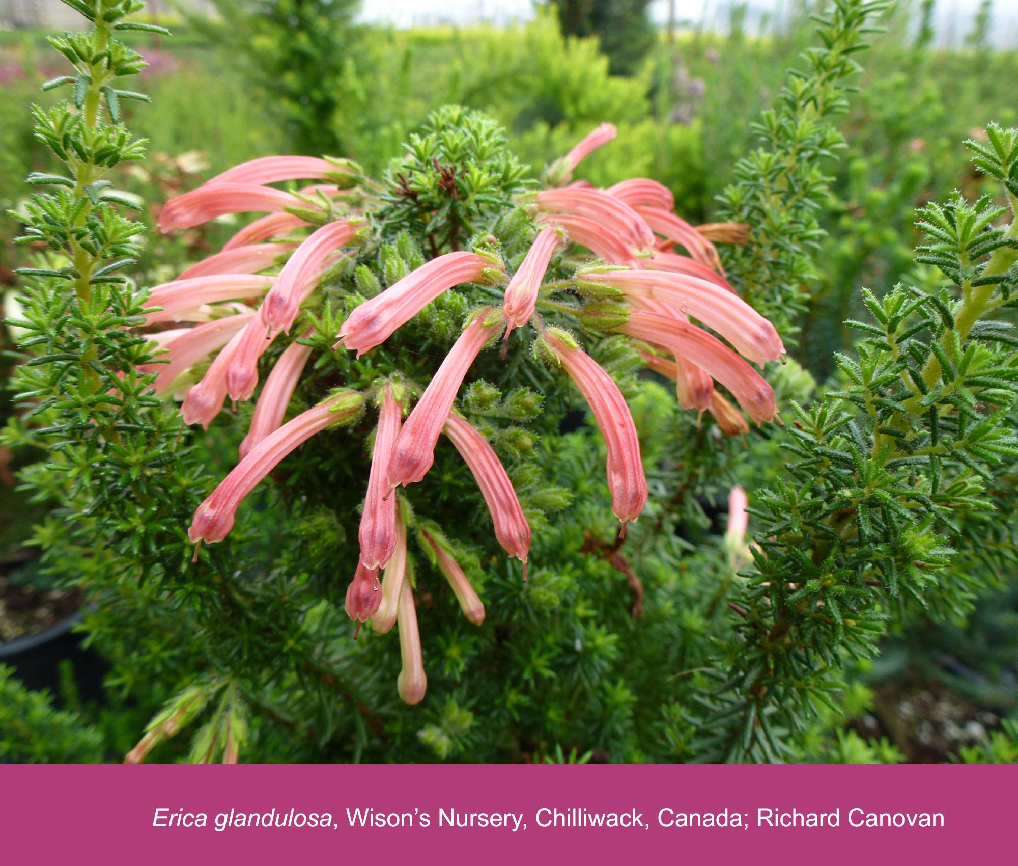 Erica glandulosa subsp. glandulosa