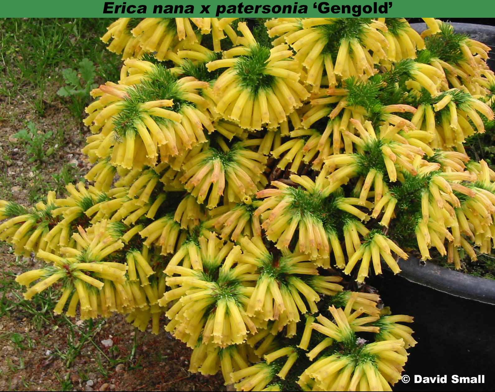 'Gengold' (=Erica nana x patersonia)