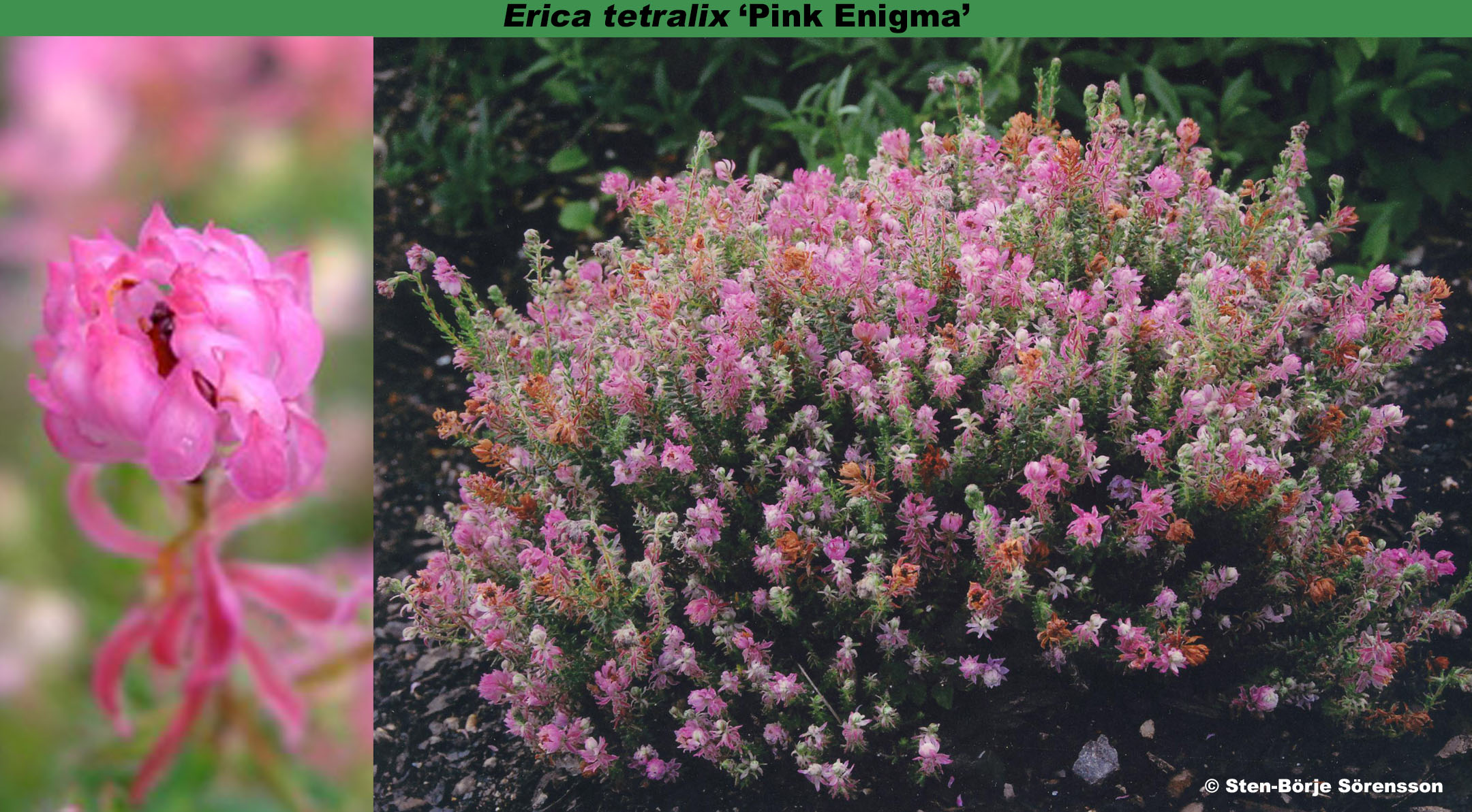 'Pink Enigma'