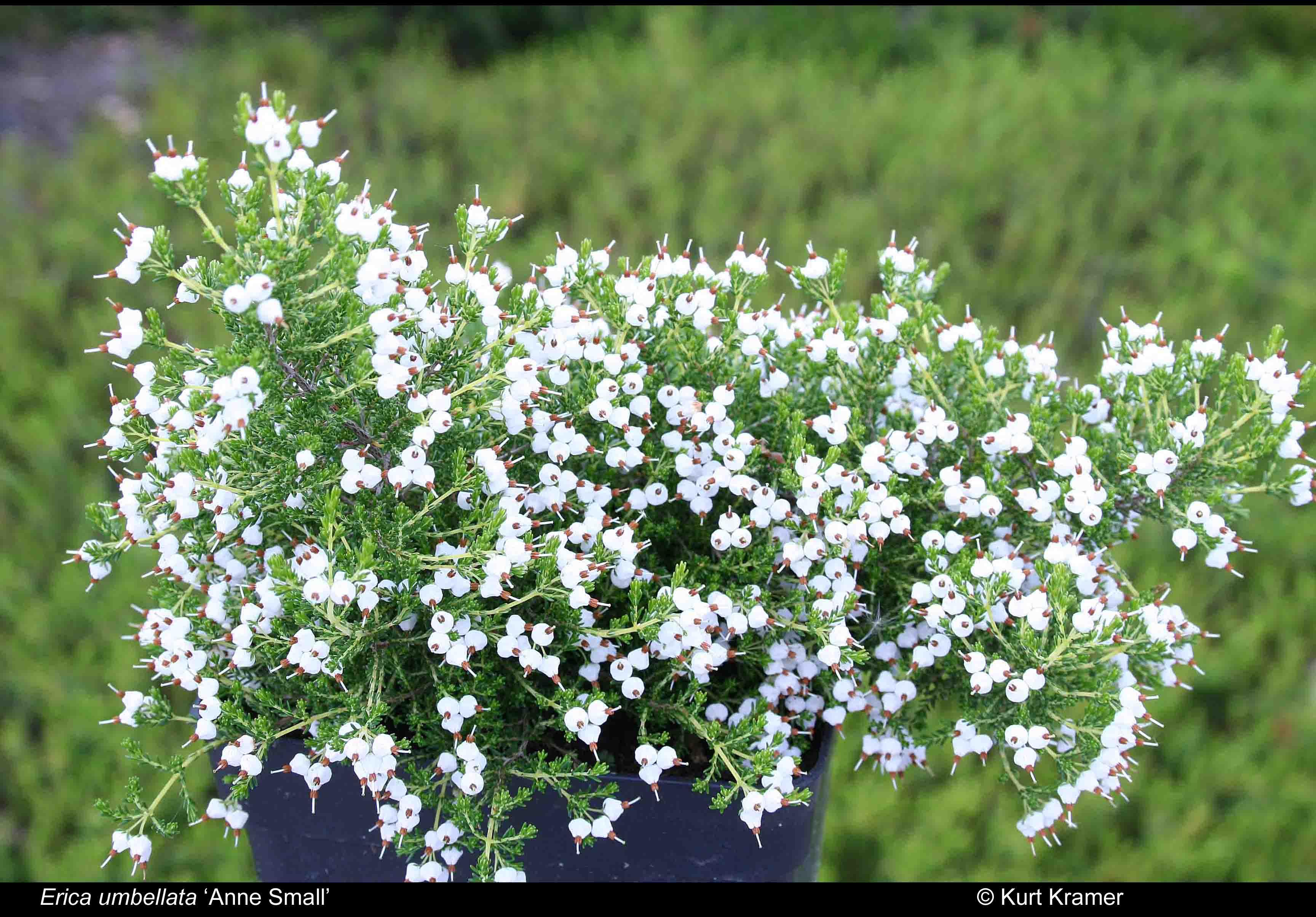`Anne Small' (f. albiflora)