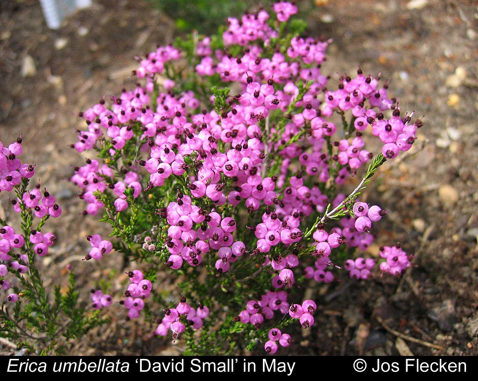 'David Small' (f. umbellata)
