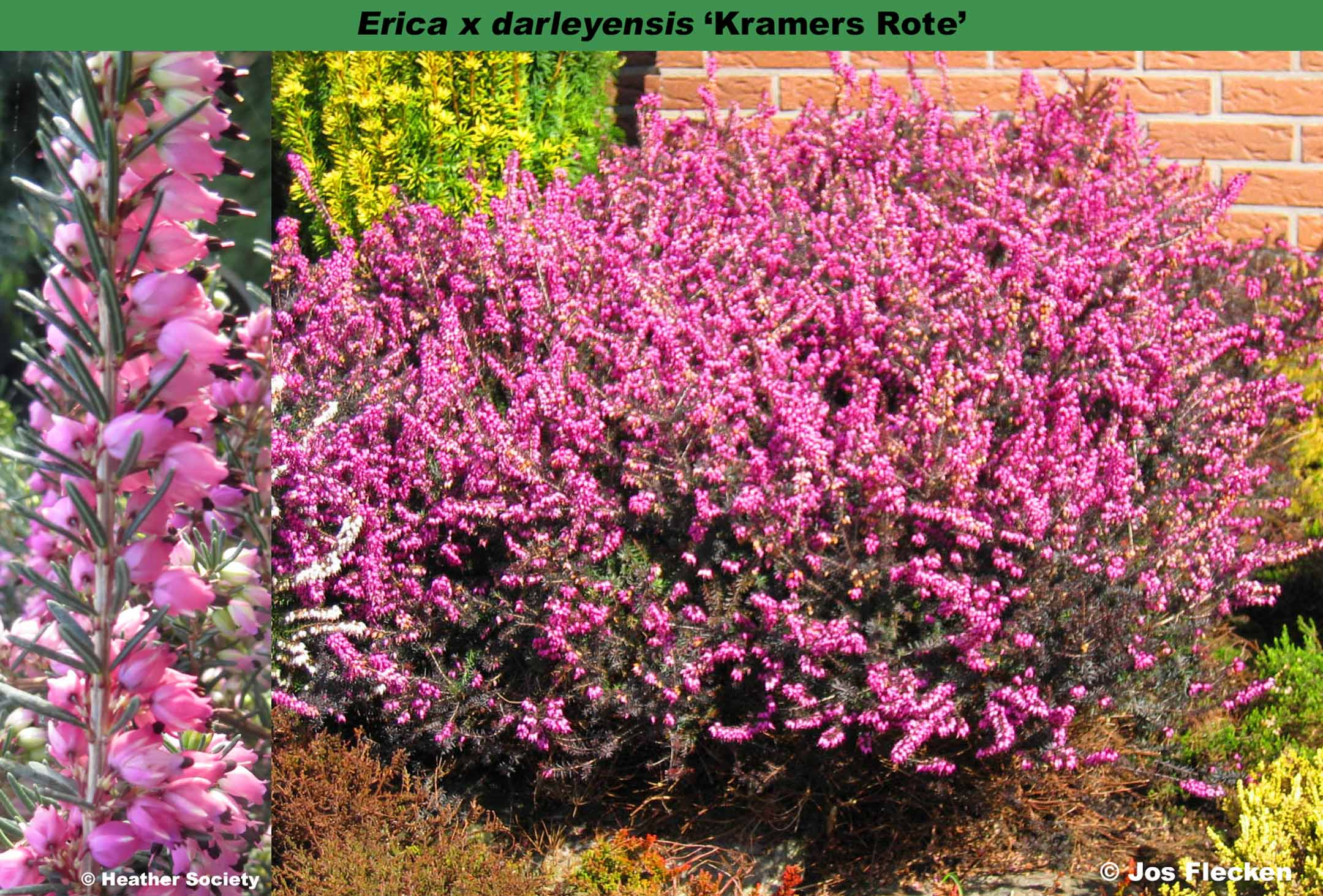 Heather Of The Month January 2016 Erica X Darleyensis Kramers Rote