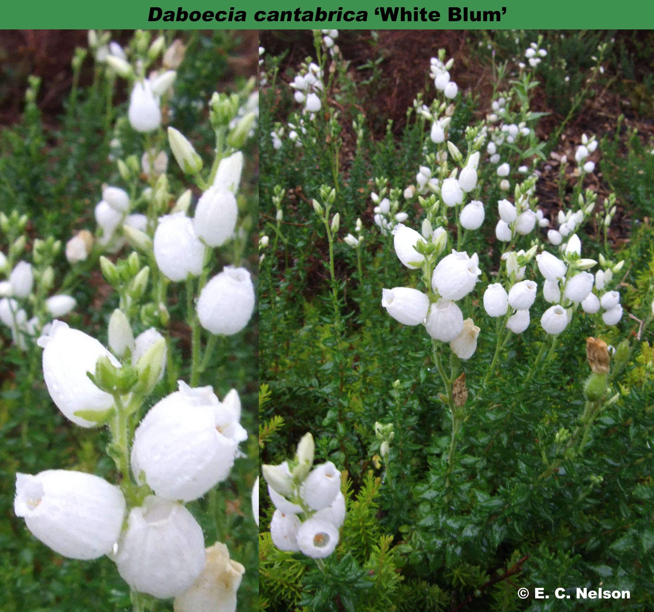 'White Blum'