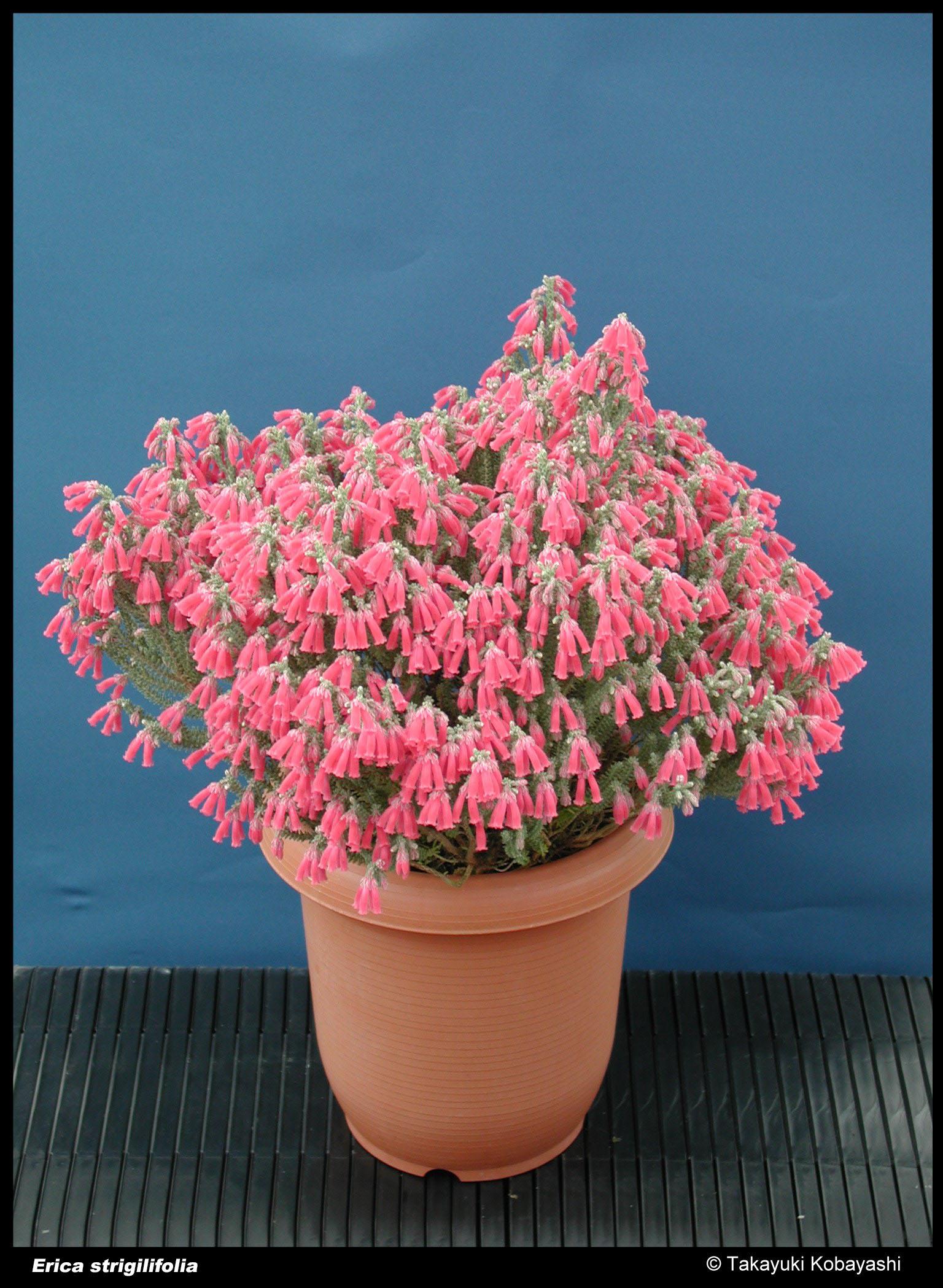 Erica strigilifolia