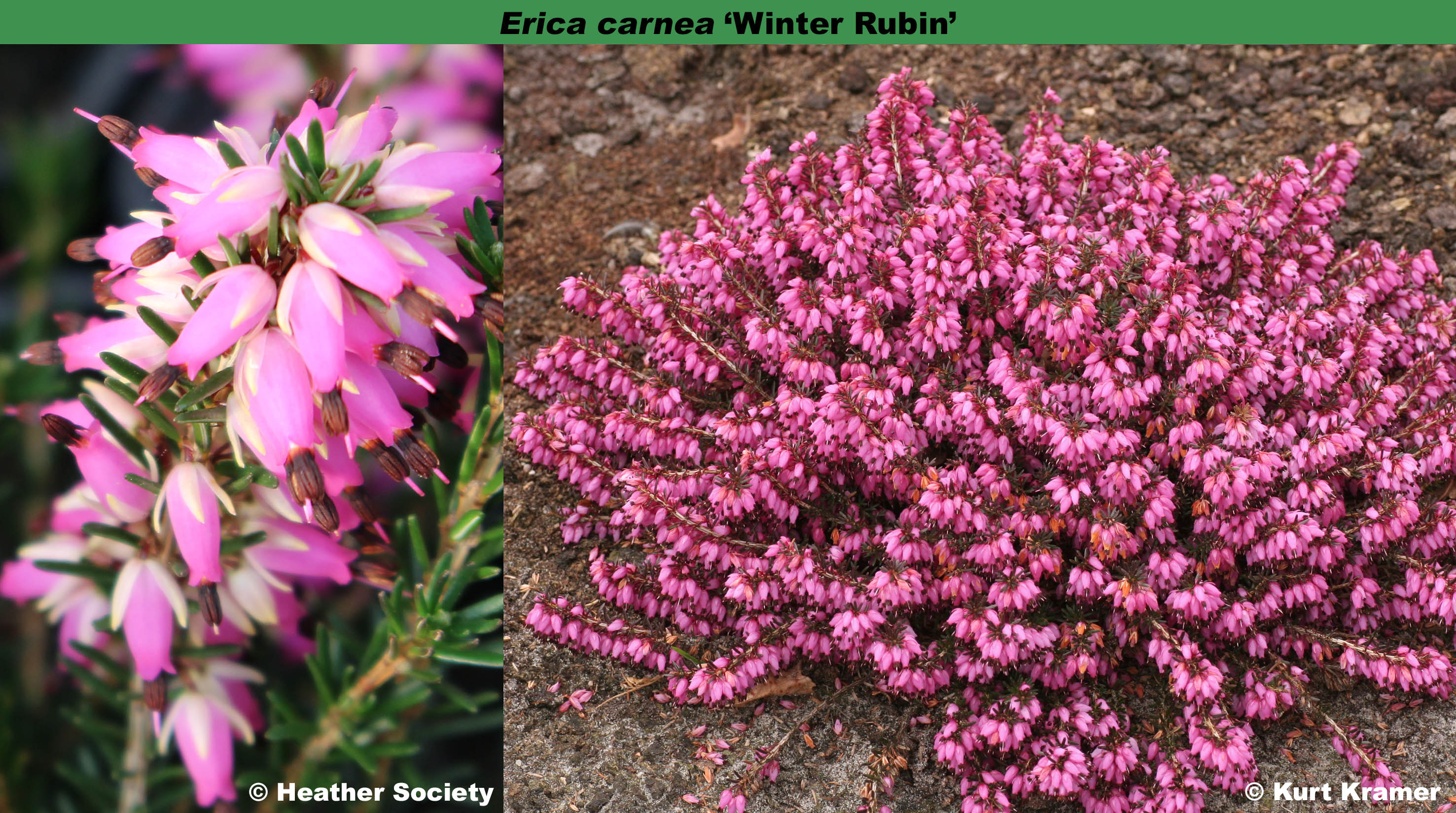 The Heather Society Winter Rubin