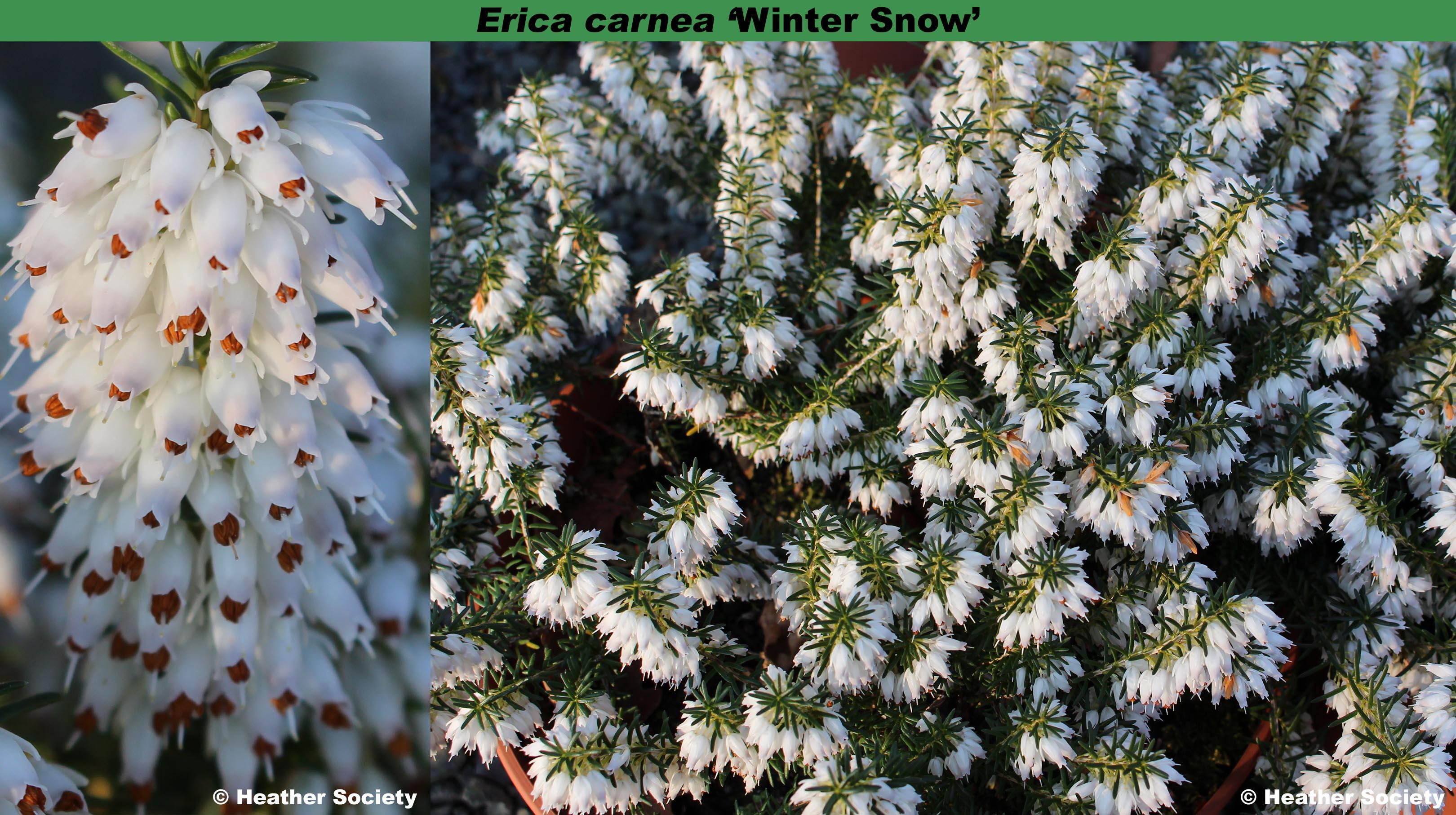 Erica carnea 'Winter Snow' combo