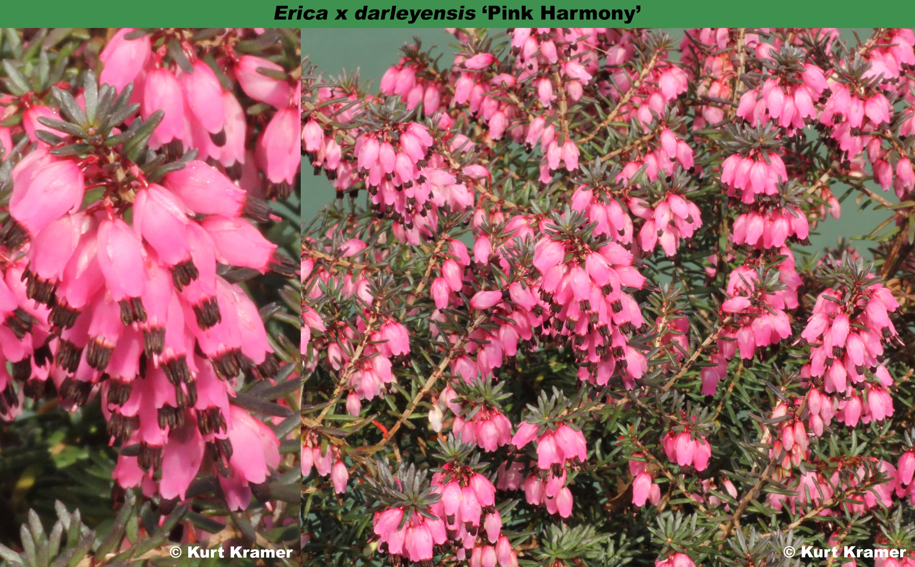 The Heather Society Pink Harmony Adopted Name For Pink Magic