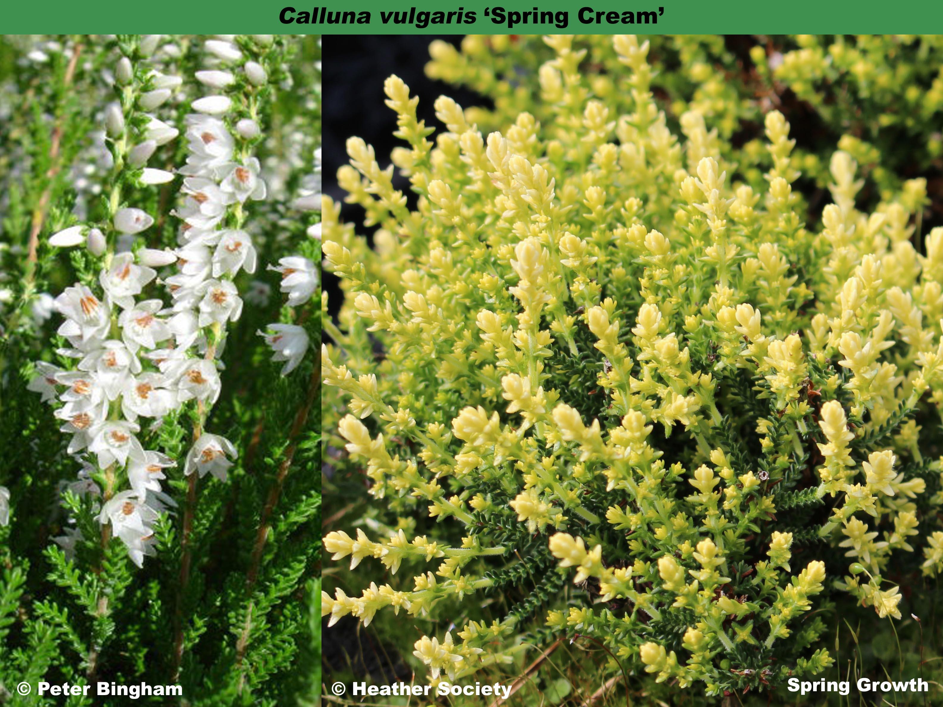 'Spring Cream'