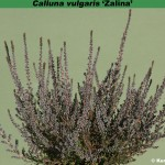 Calluna 'Zalina'