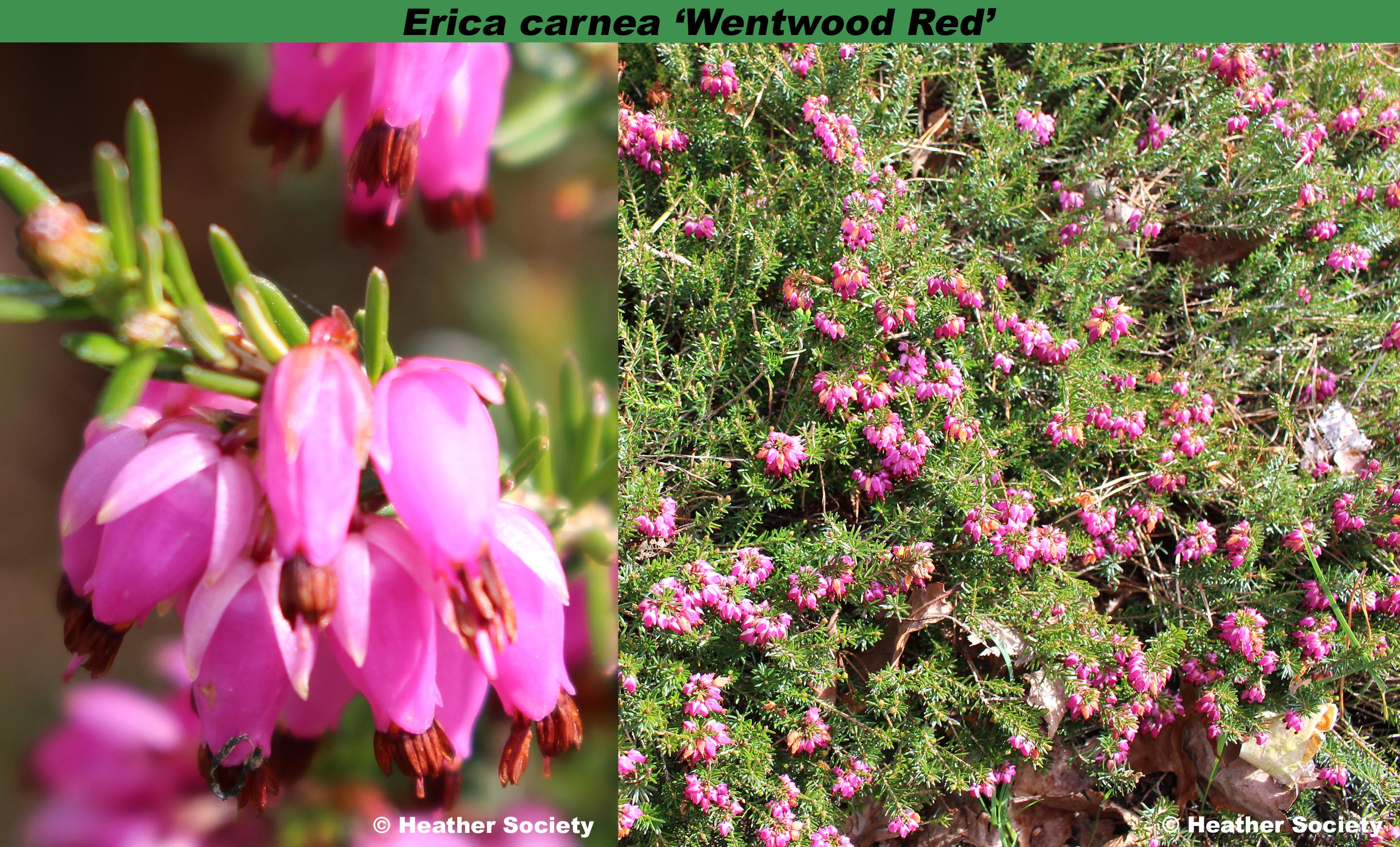 'Wentwood Red'