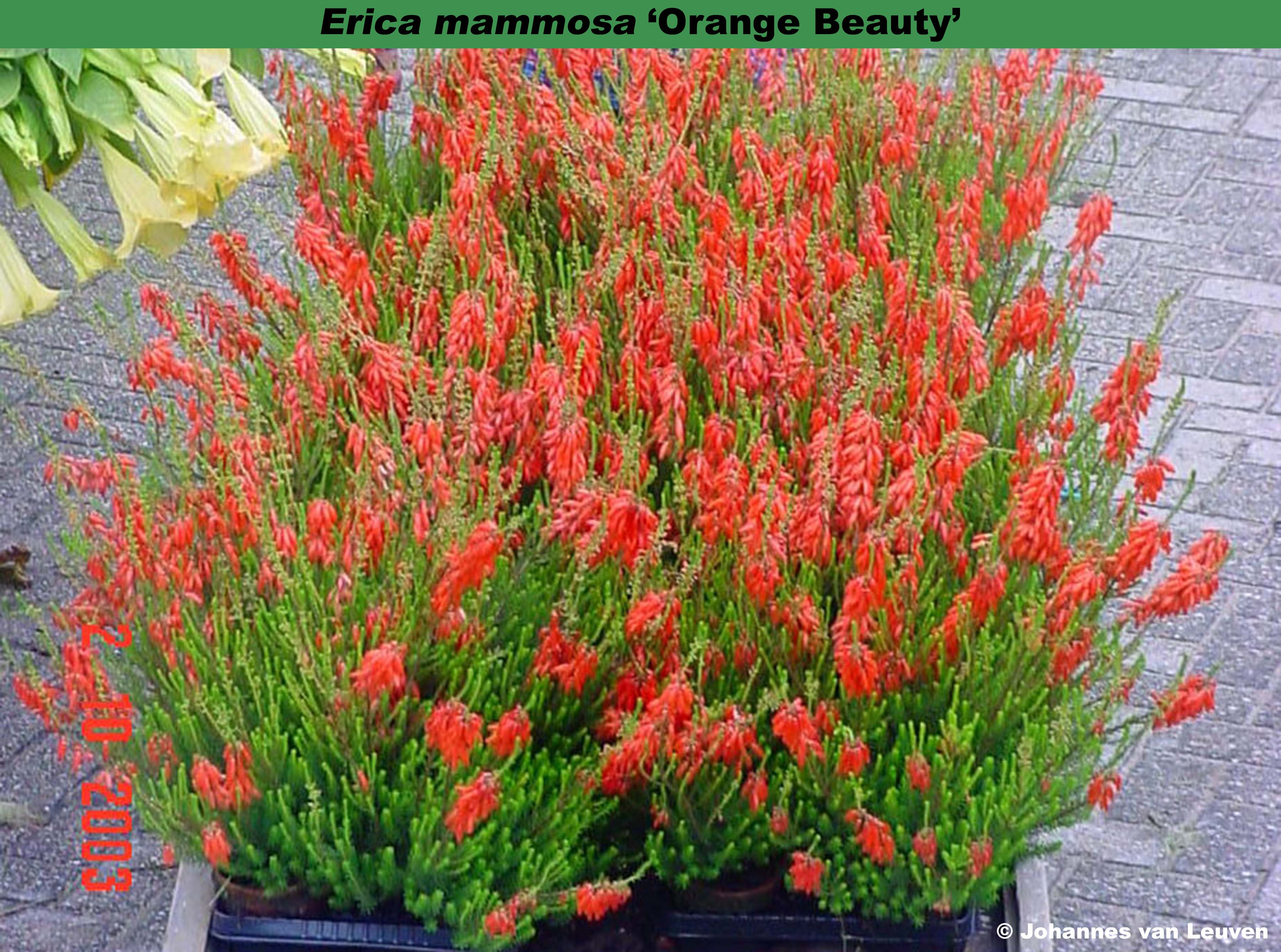 'Orange Beauty' (=Erica mammosa)