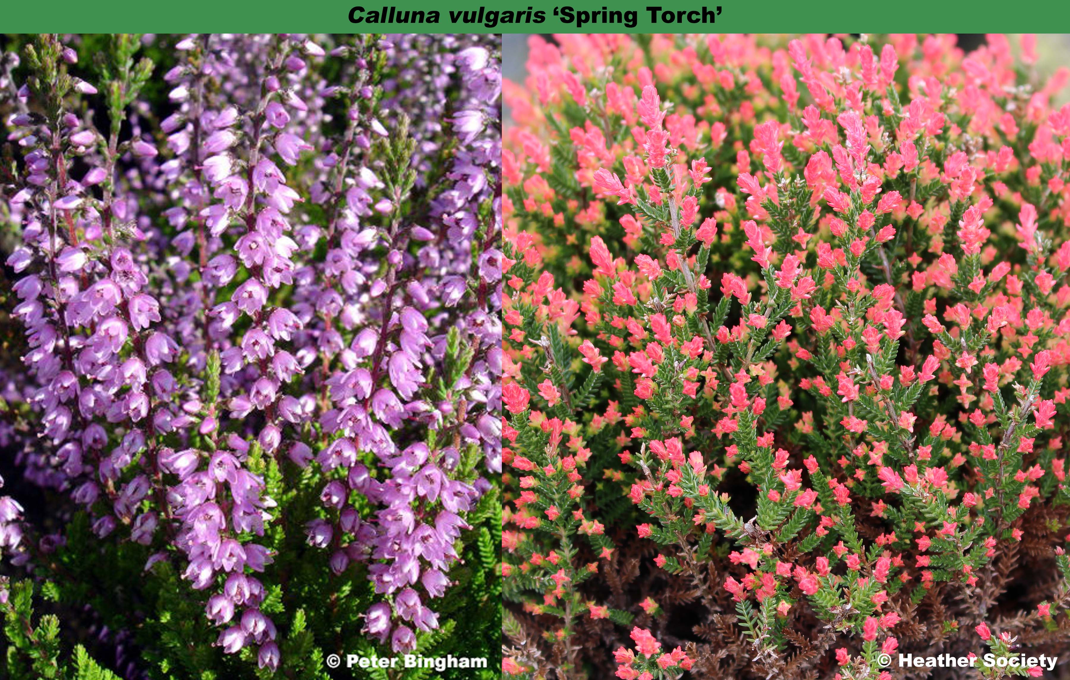 The Heather Society Spring Torch