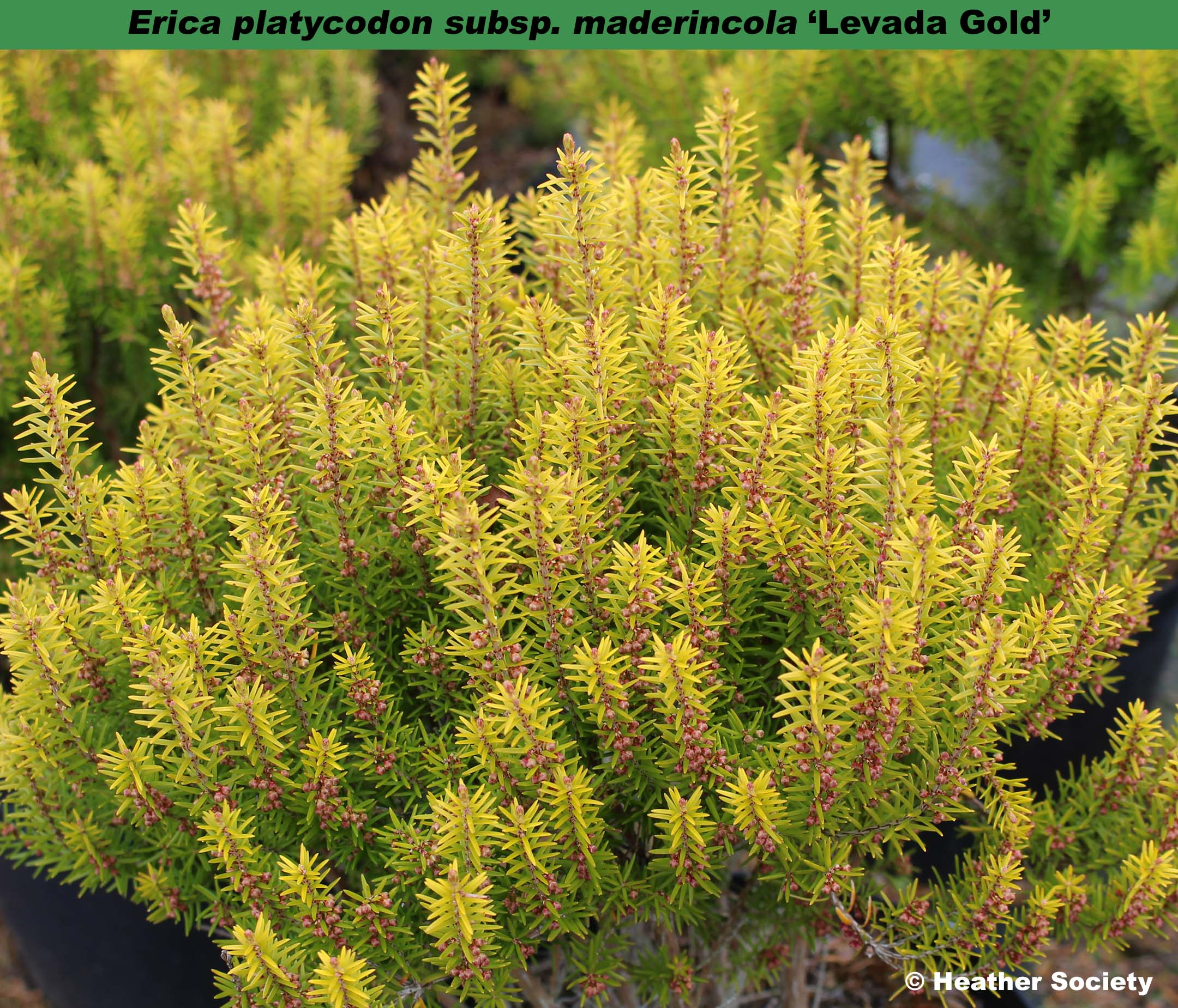 'Levada Gold'