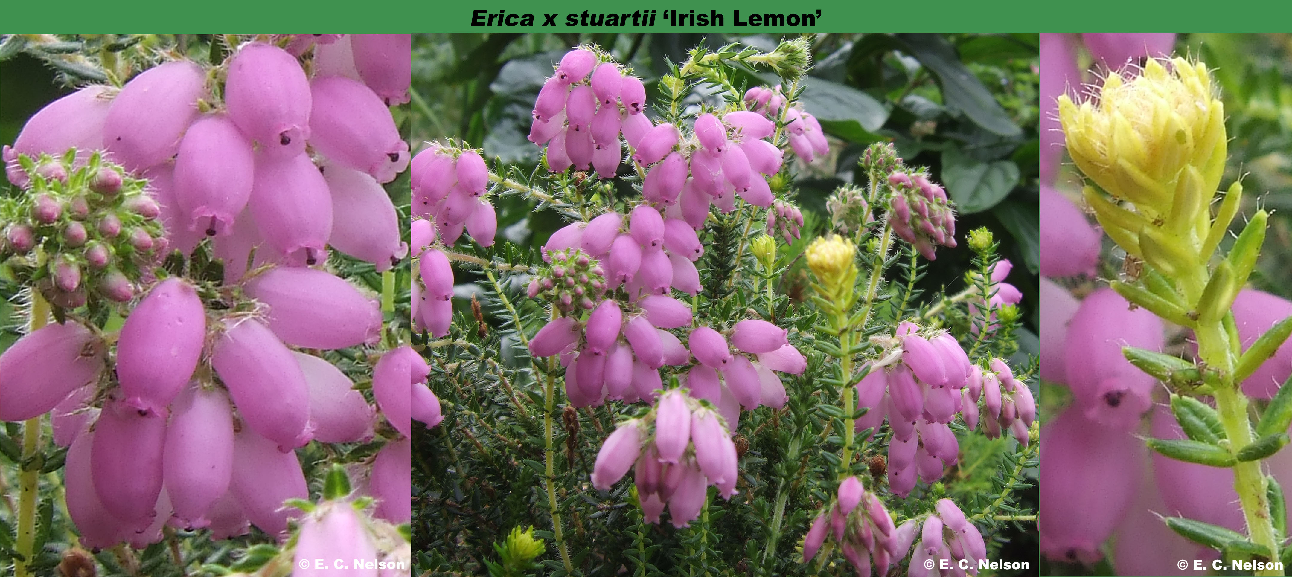 'Irish Lemon'