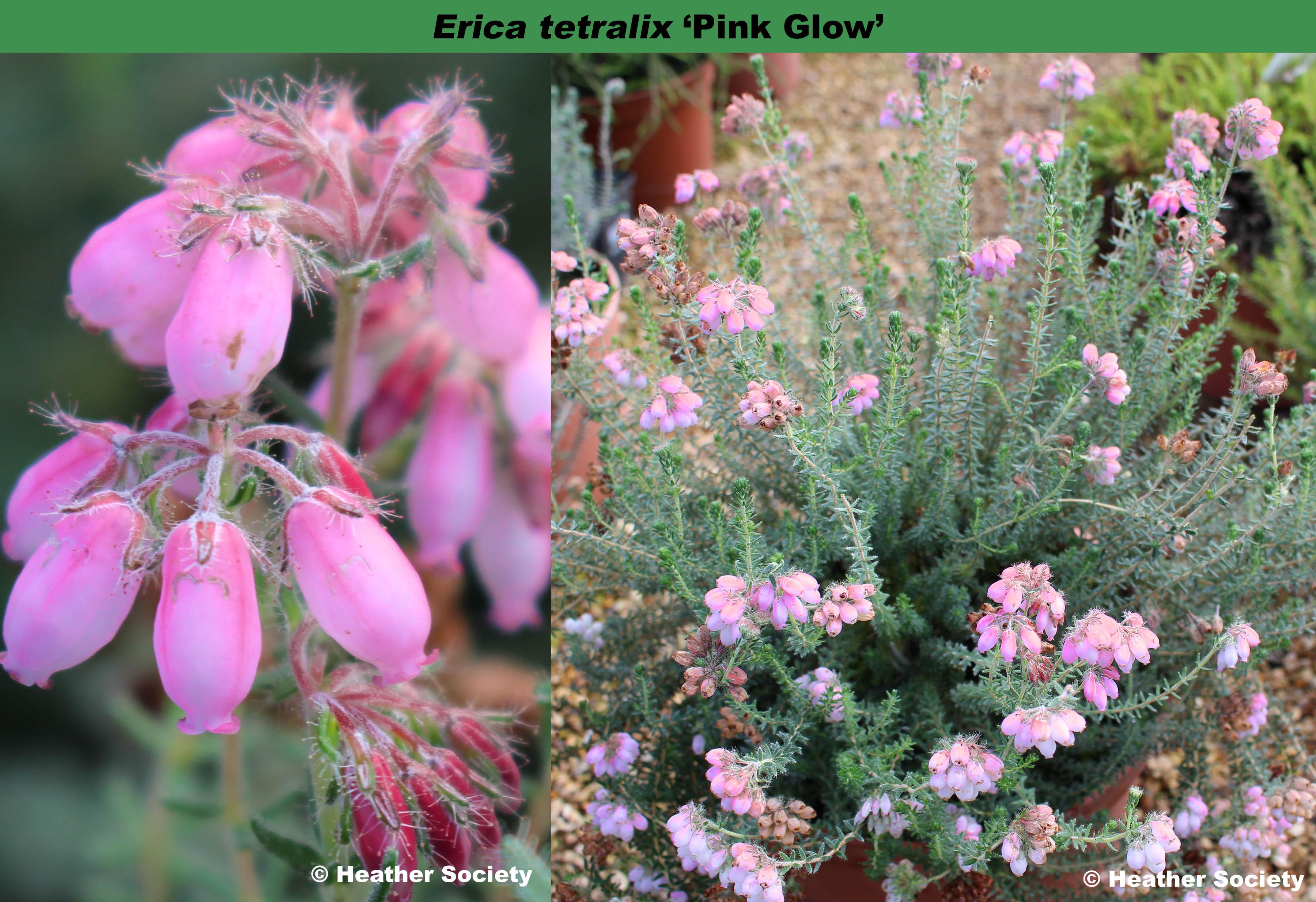 'Pink Glow'