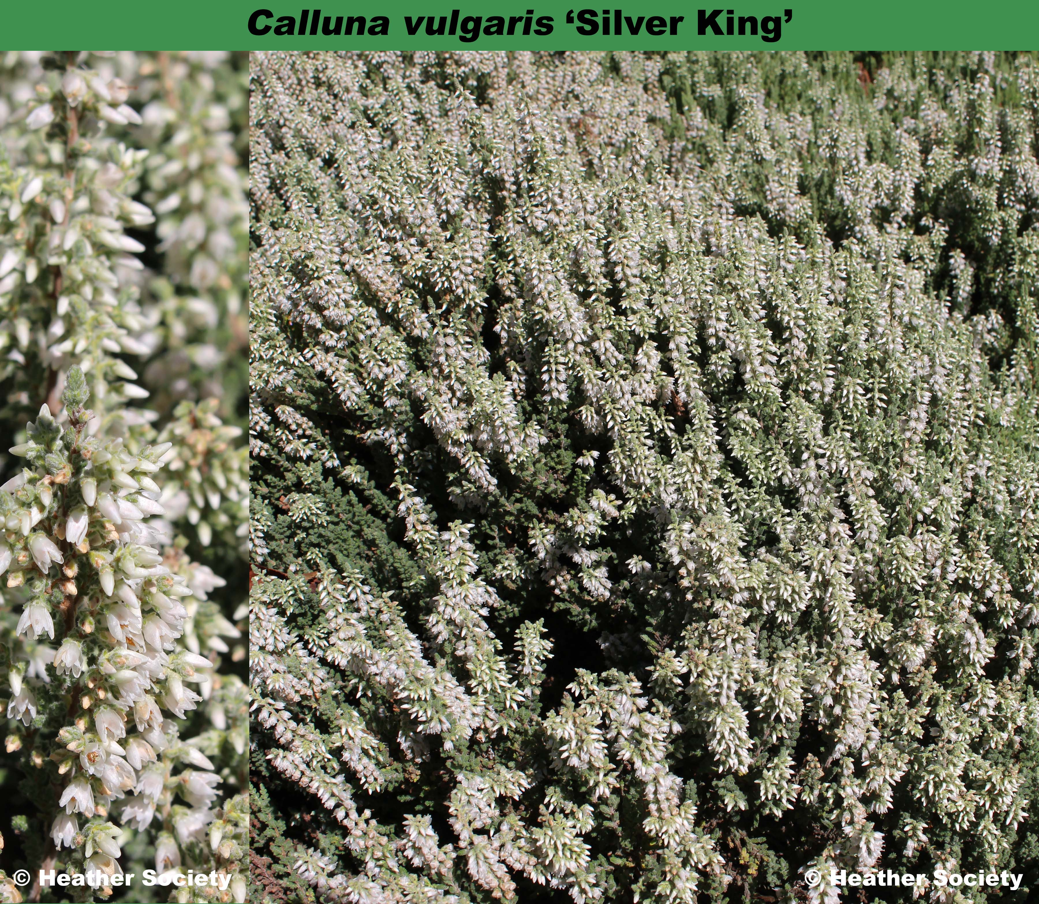 'Silver King'
