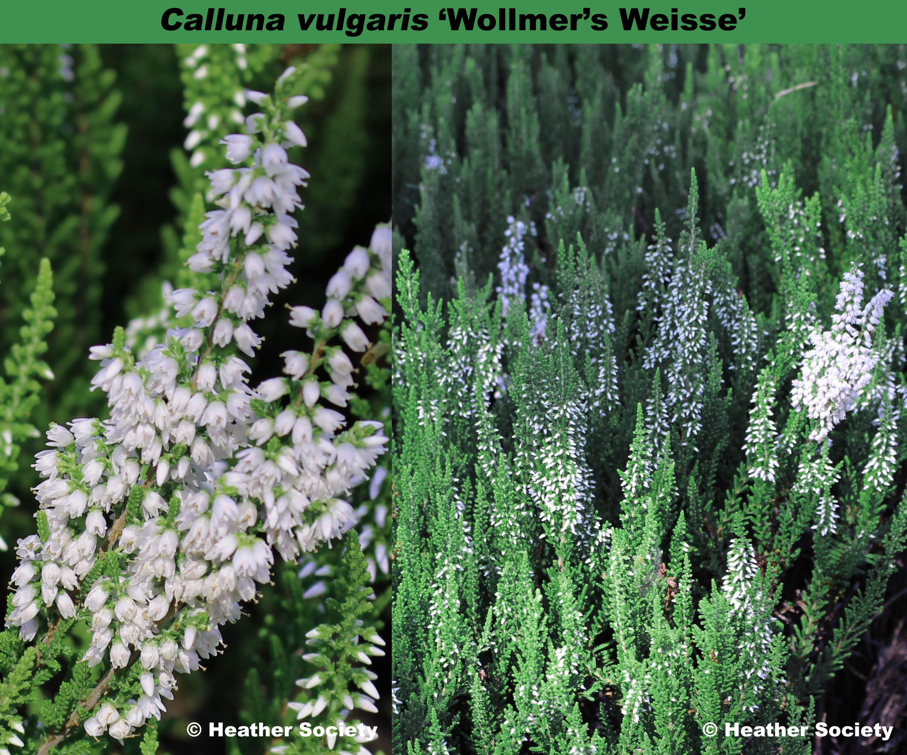 'Wollmers Weiße' / 'Woolmers Weisse'