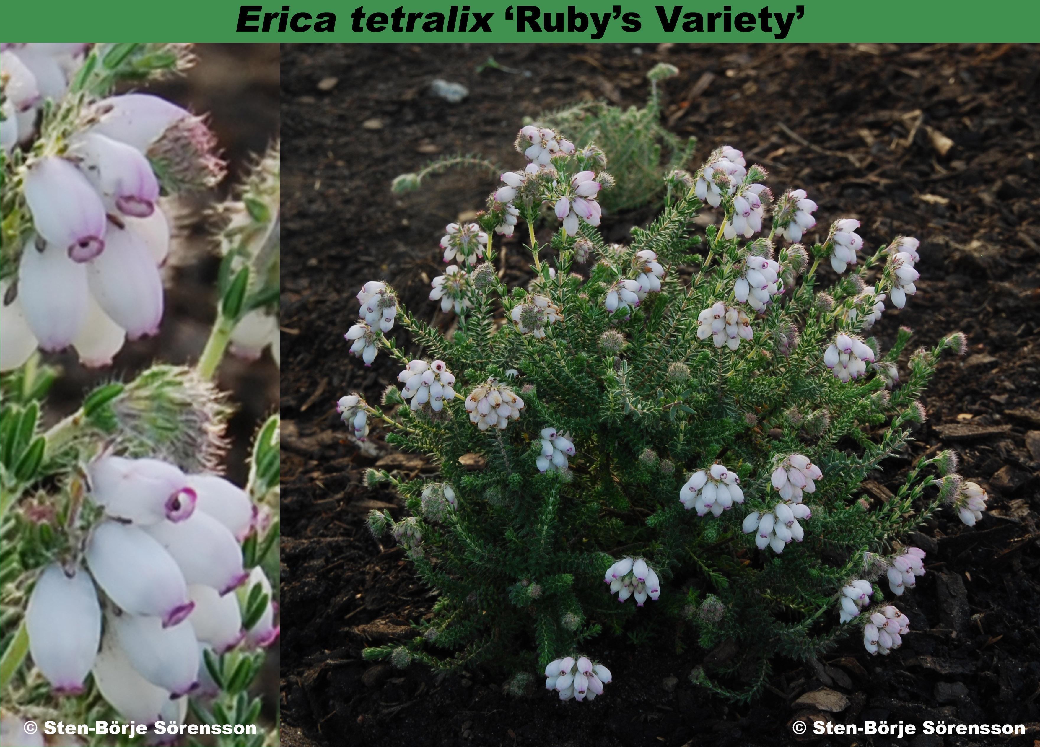 'Ruby's Variety'