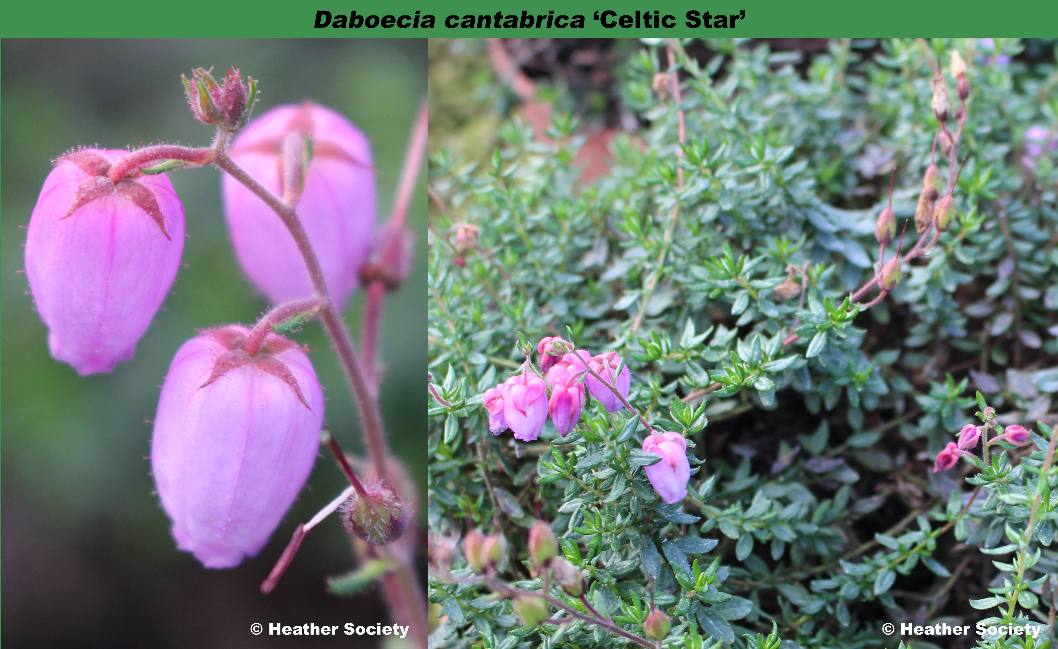 'Celtic Star'