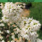 erica-australis-polar-express