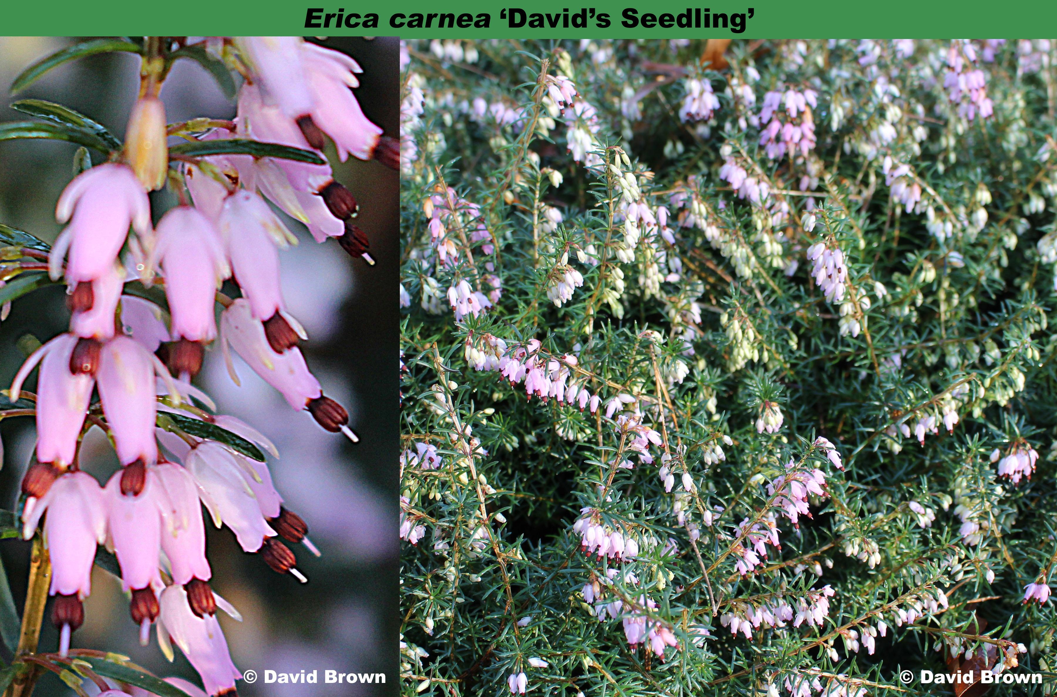 'David's Seedling'