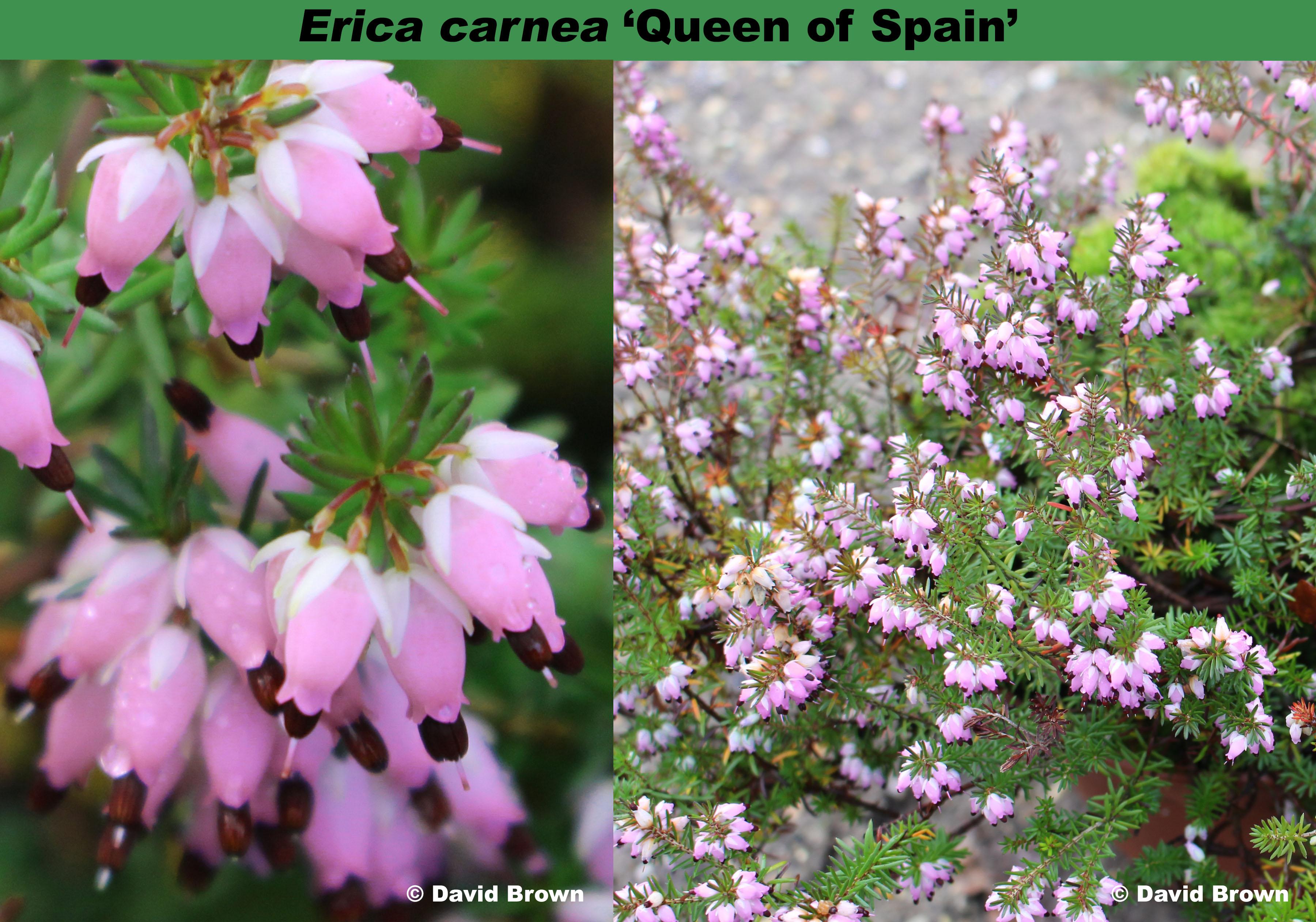 'Queen of Spain'