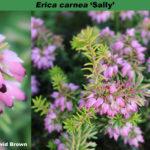 erica-carnea-sally-combo