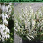 erica-x-factitia-heidedorf-lullingen-combo