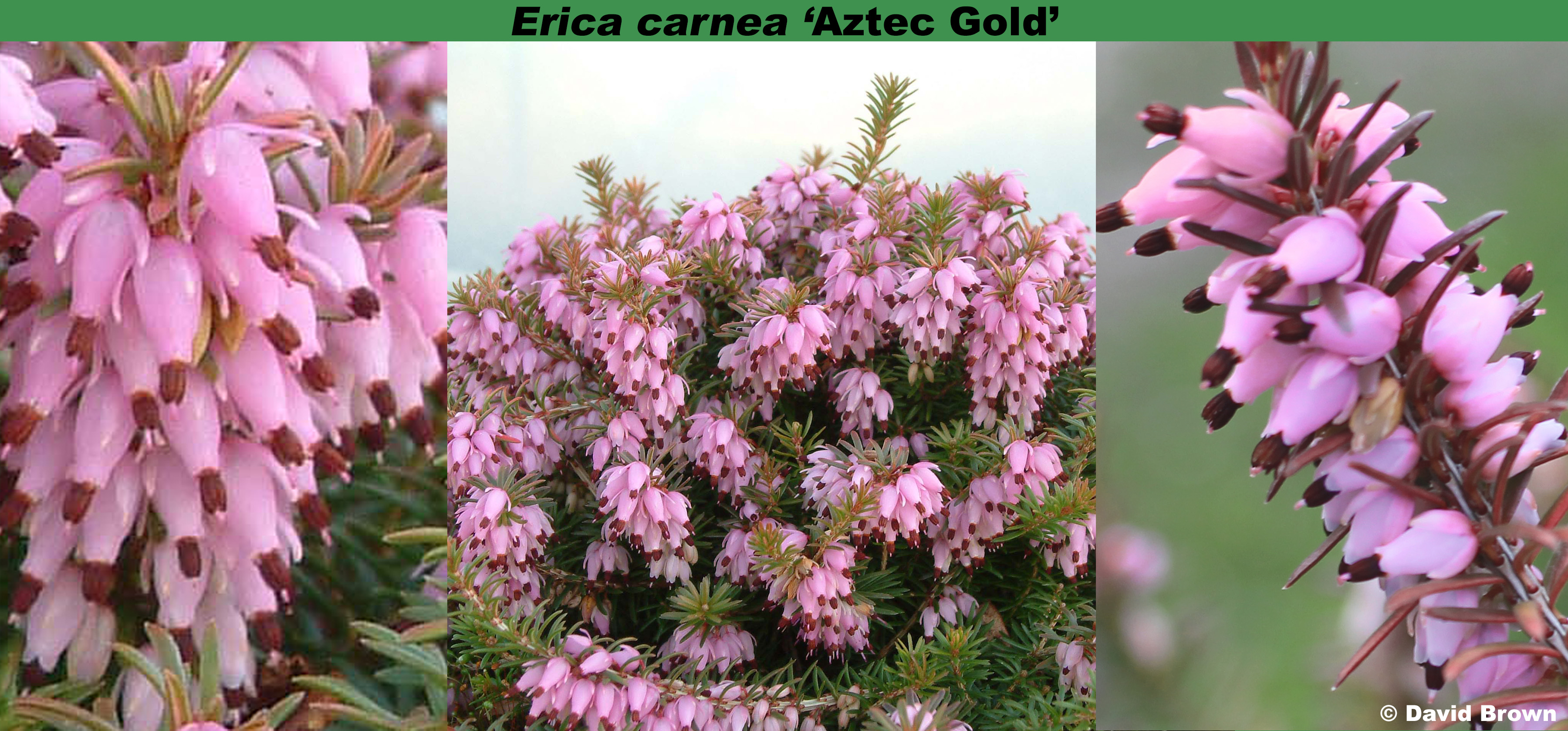 'Aztec Gold'