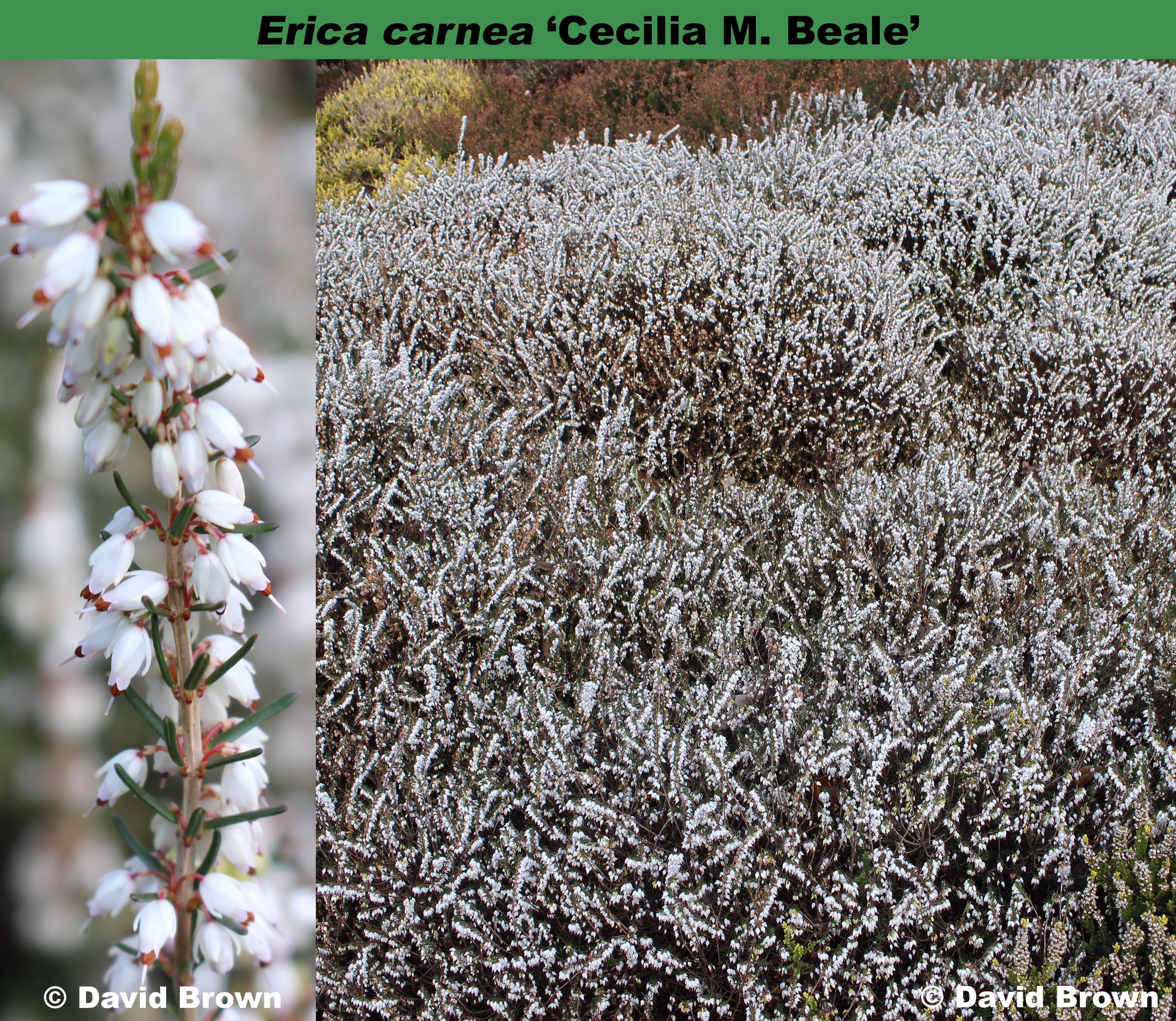 'Cecilia M. Beale'