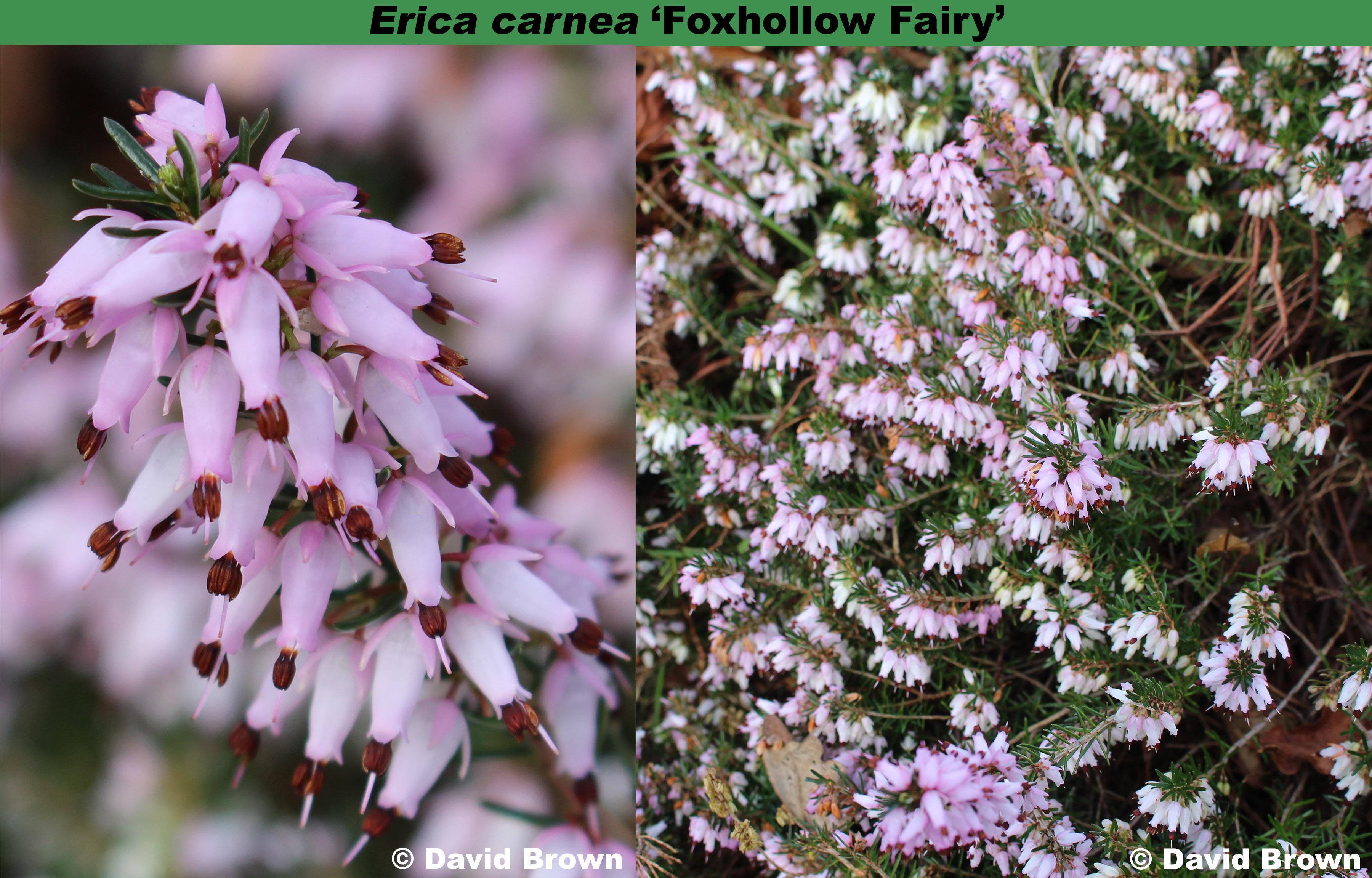 'Foxhollow Fairy'