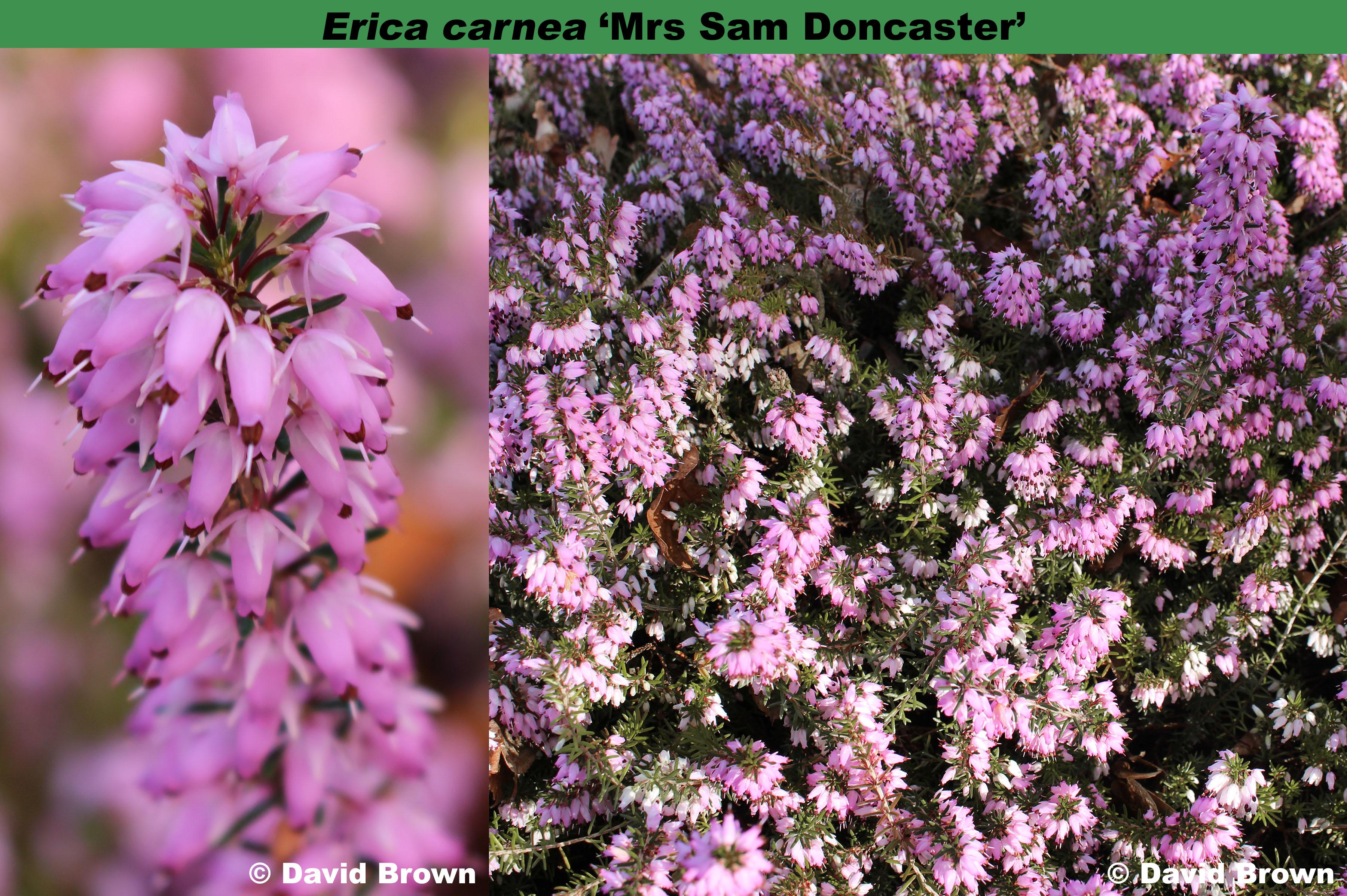 'Mrs Sam Doncaster'