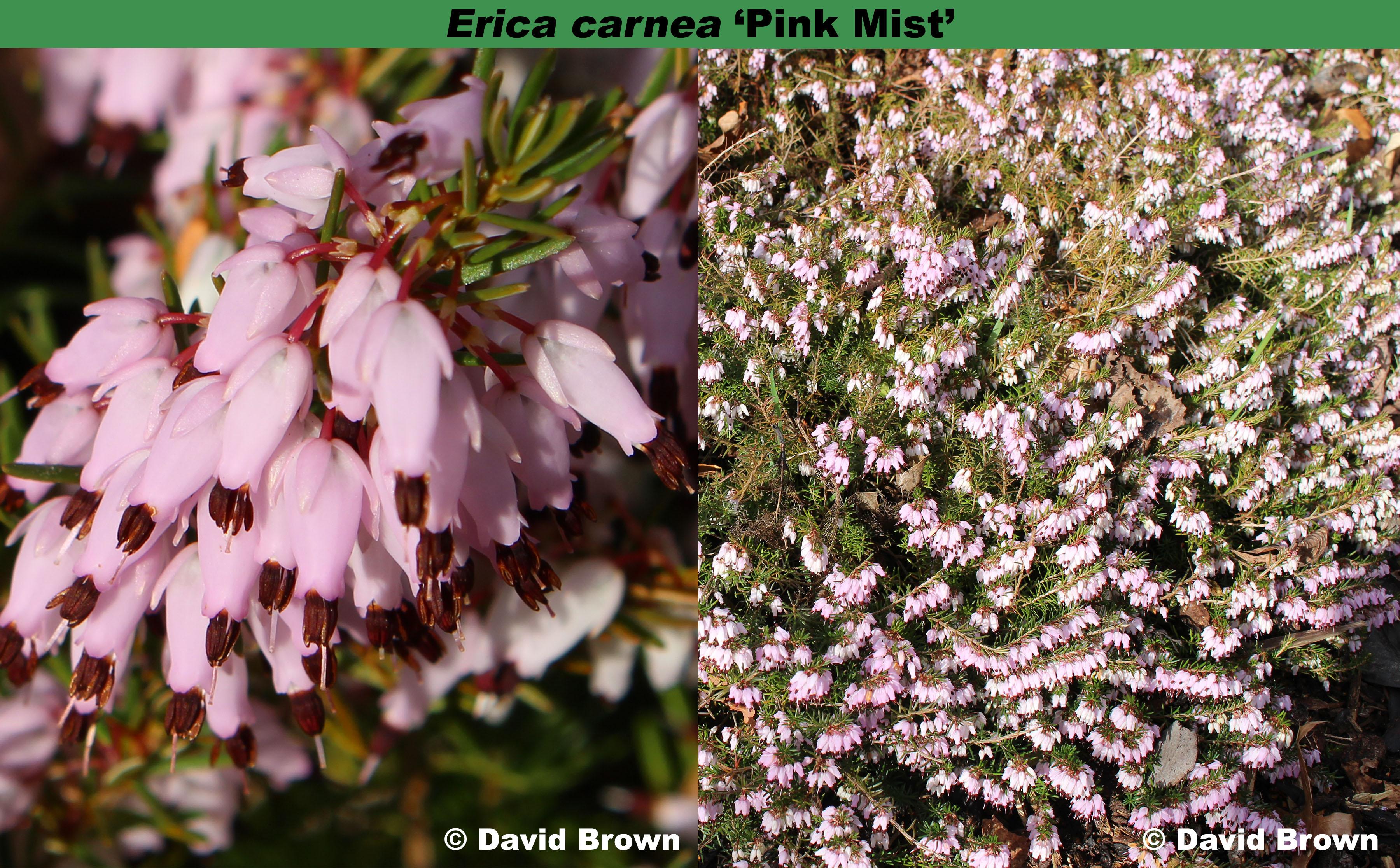 'Pink Mist'
