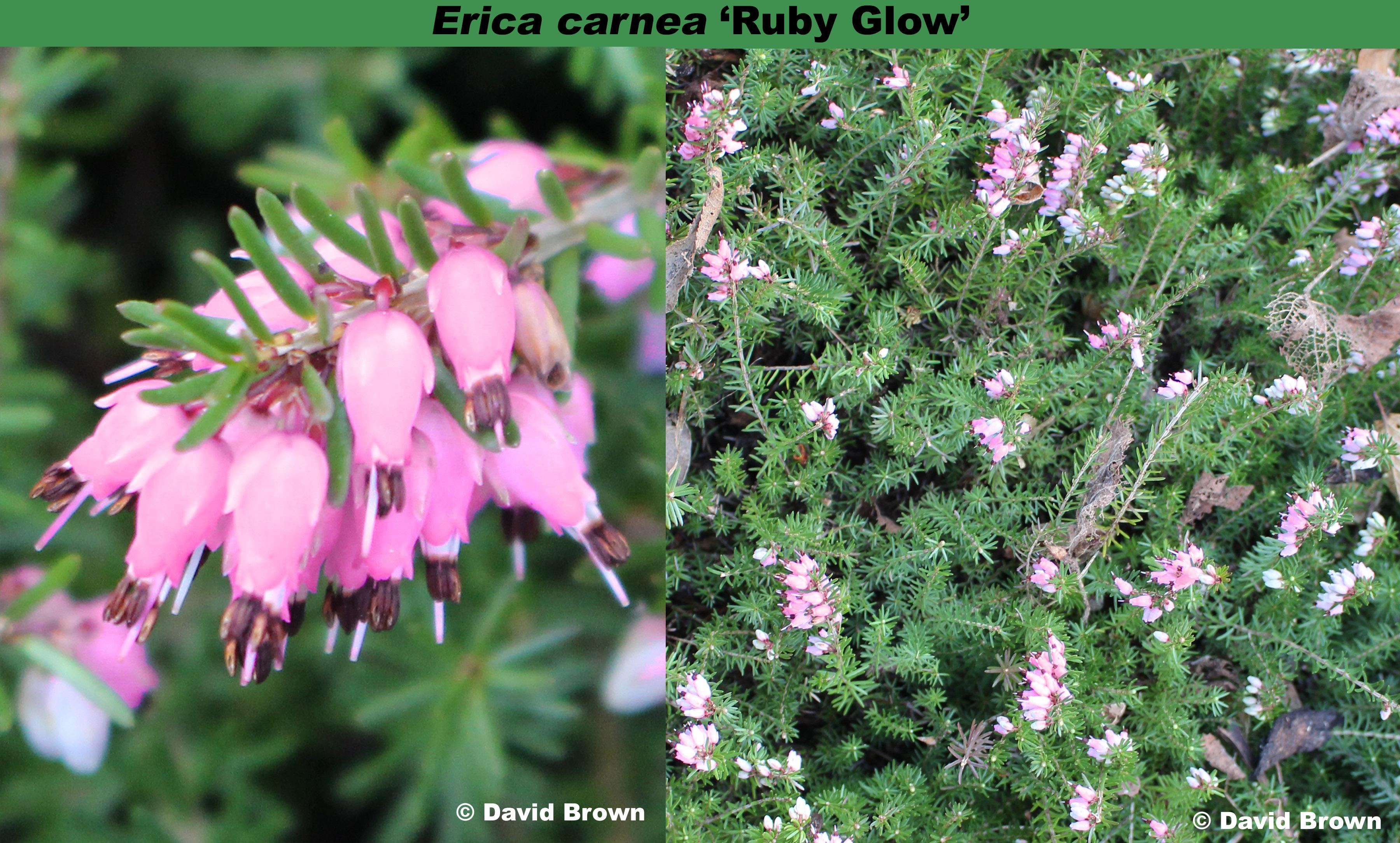 'Ruby Glow'
