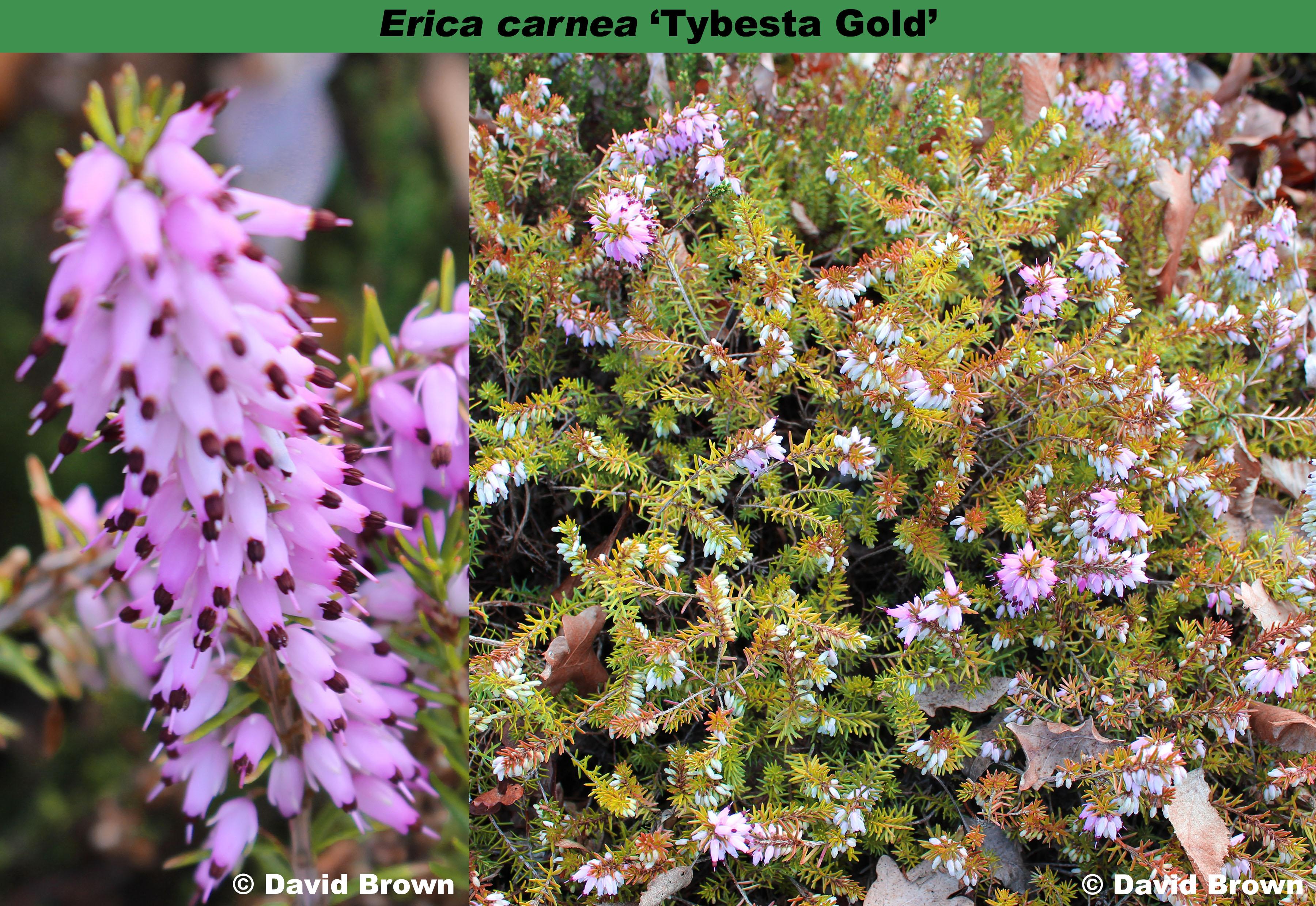 'Tybesta Gold'