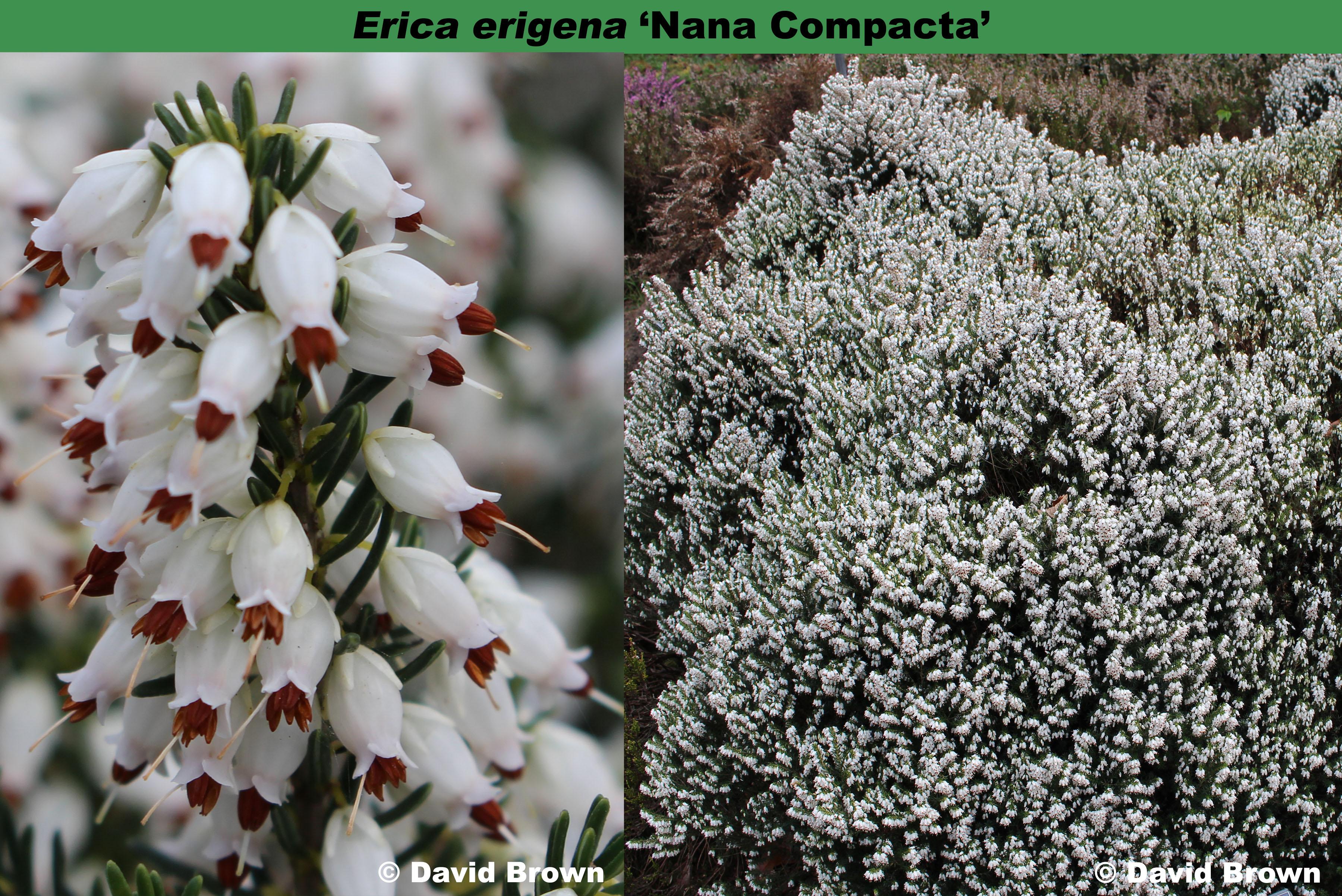 'Nana Compacta'