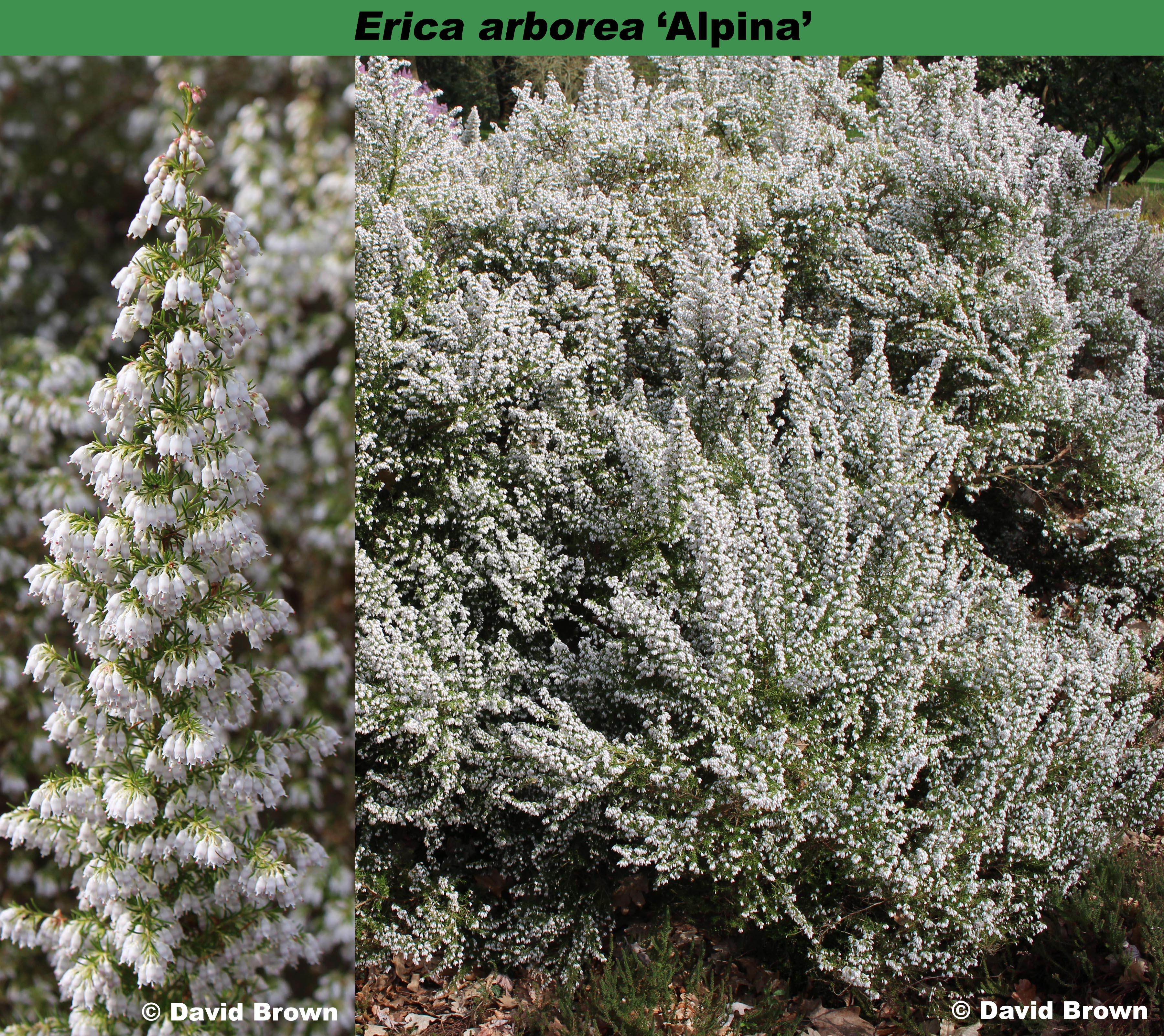 'Alpina' (Erica arborea var. alpina)