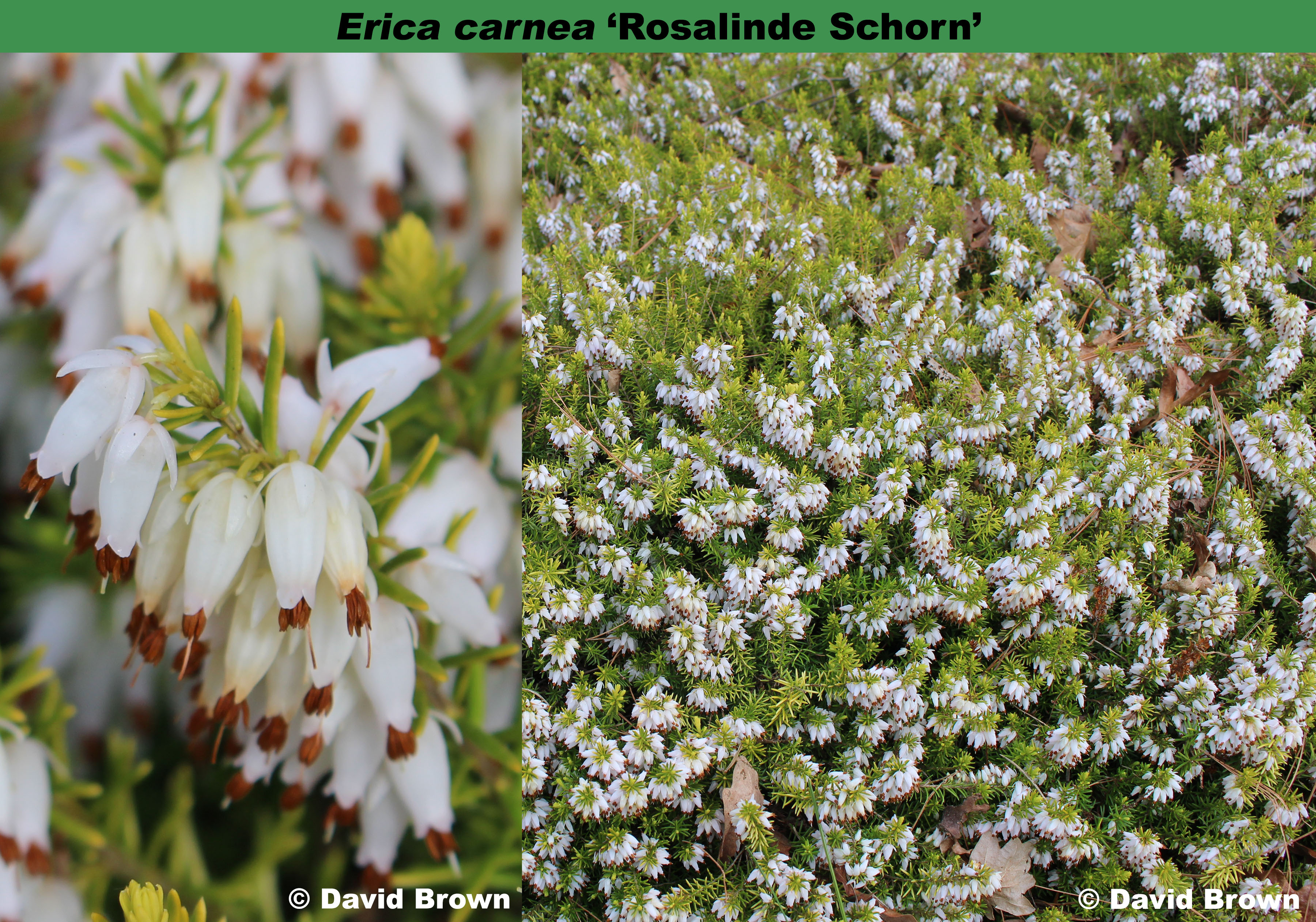 'Rosalinde Schorn'